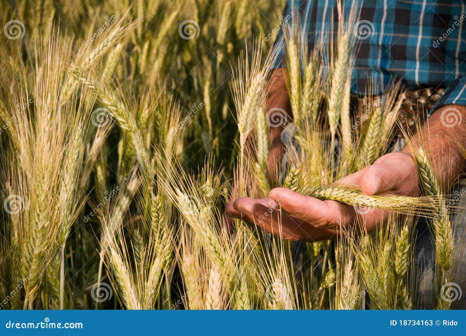 Mão do fazendeiro no campo de trigo