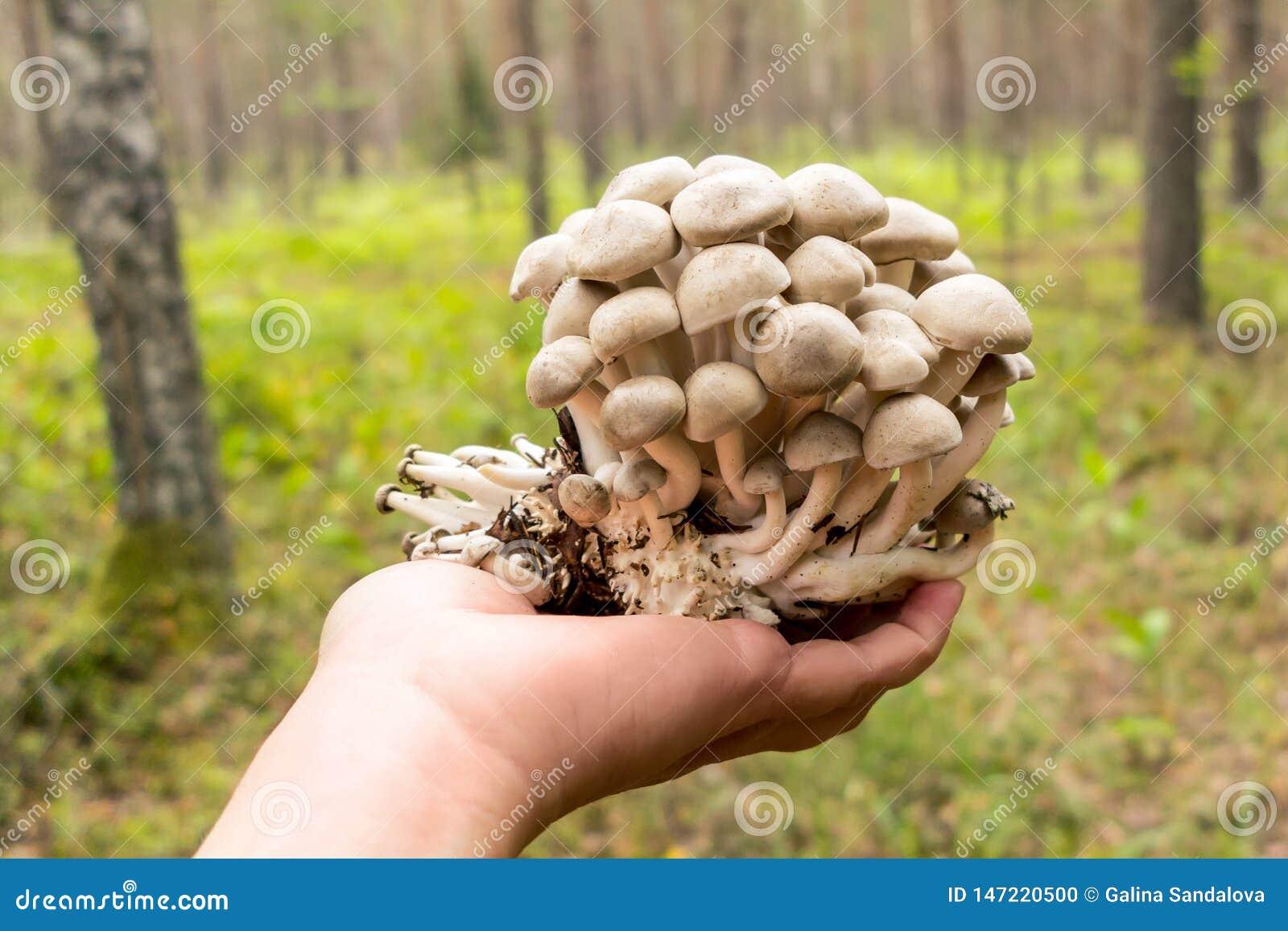 Mão fêmea que guarda cogumelos dos decastes de Lyophyllum na floresta do outono