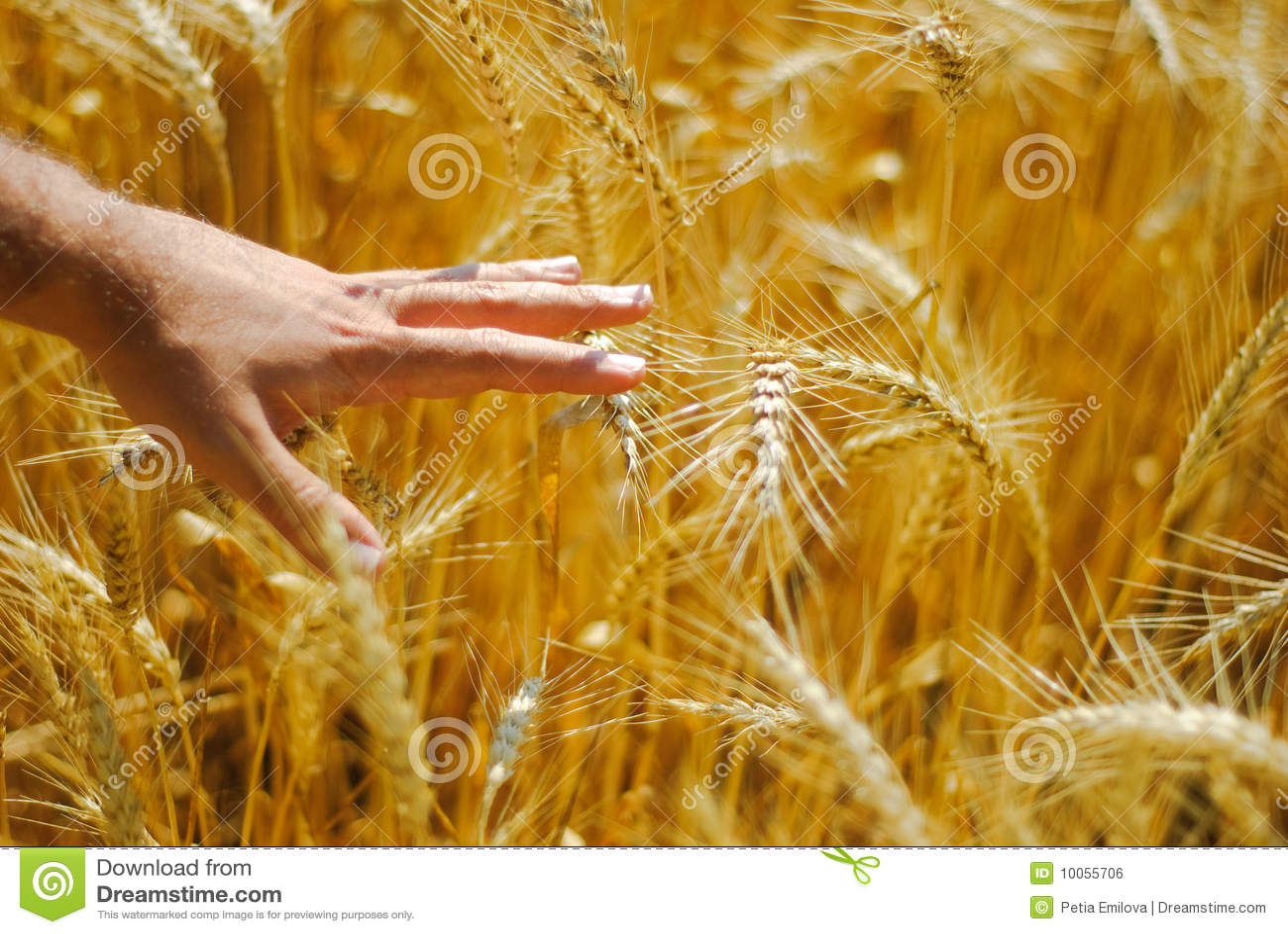 Mão masculina no corn-field