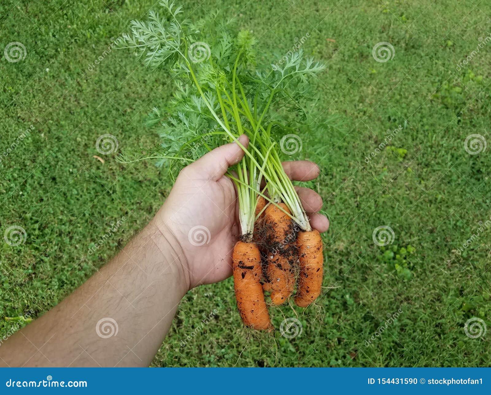 Mão que guarda cenouras alaranjadas com sujeira sobre a grama verde