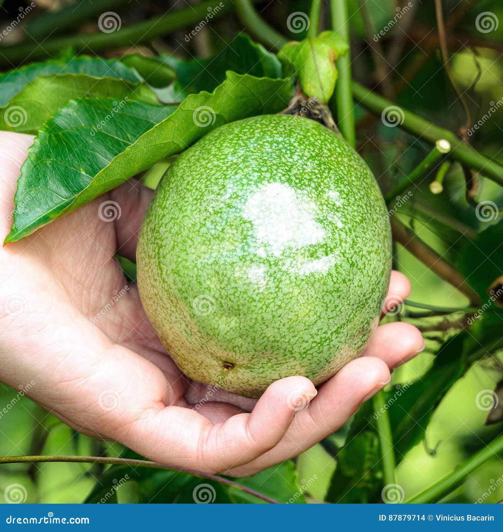 Mão que guarda um fruto de paixão