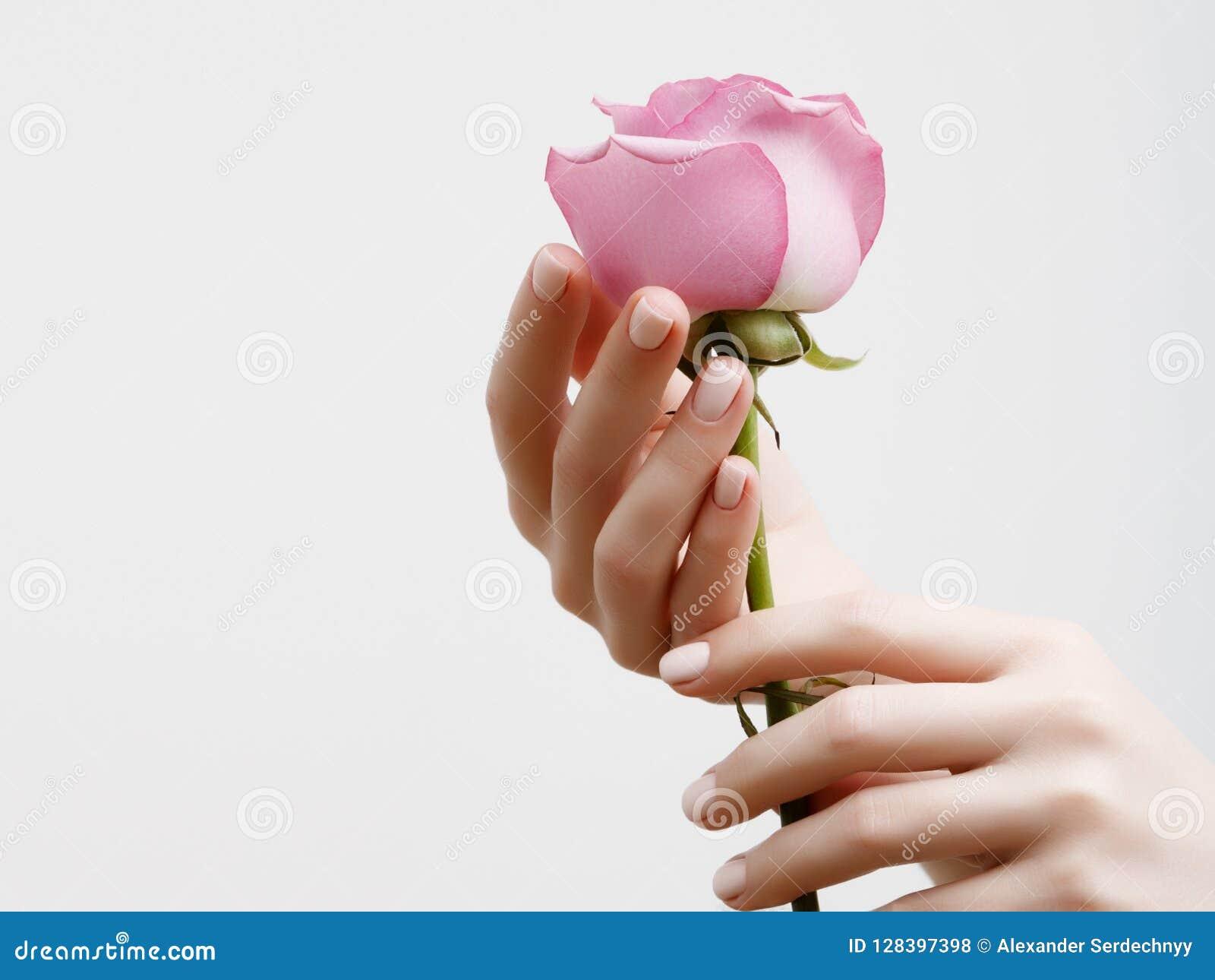 Mãos fêmeas elegantes com tratamento de mãos cor-de-rosa nos pregos Dedos bonitos que guardam uma rosa