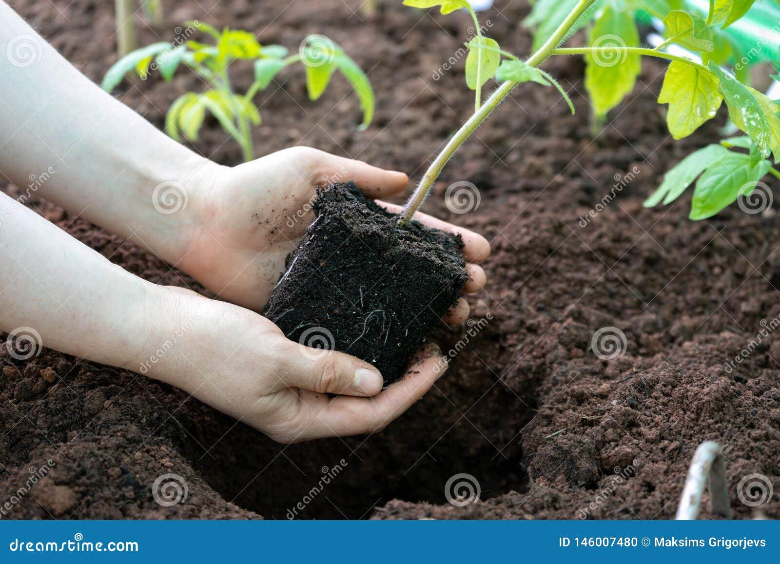 Mãos que guardam a plântula verde nova da planta de tomate