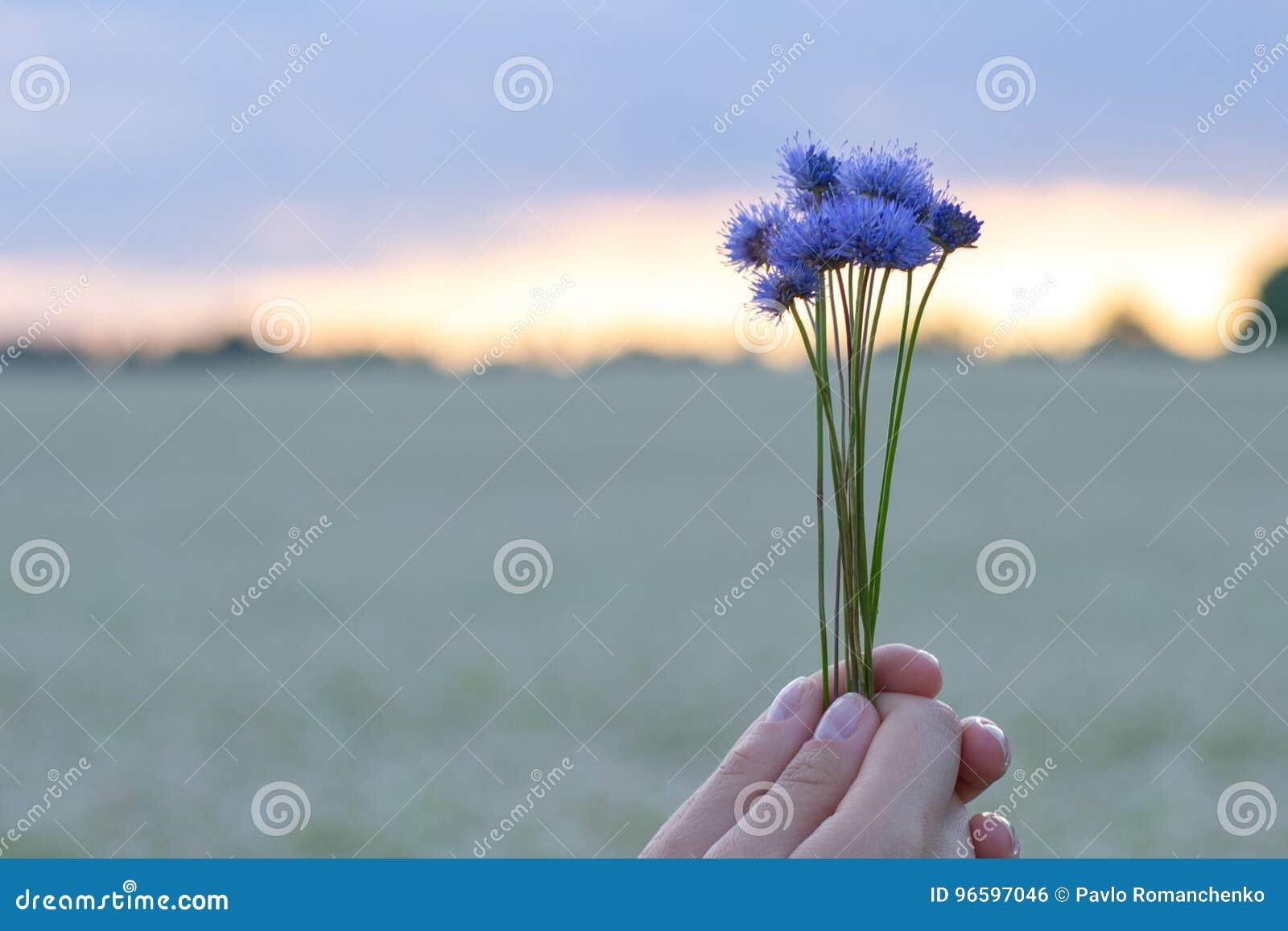 Mãos que guardam um ramalhete pequeno das centáureas na perspectiva do céu da noite e de um campo de flor