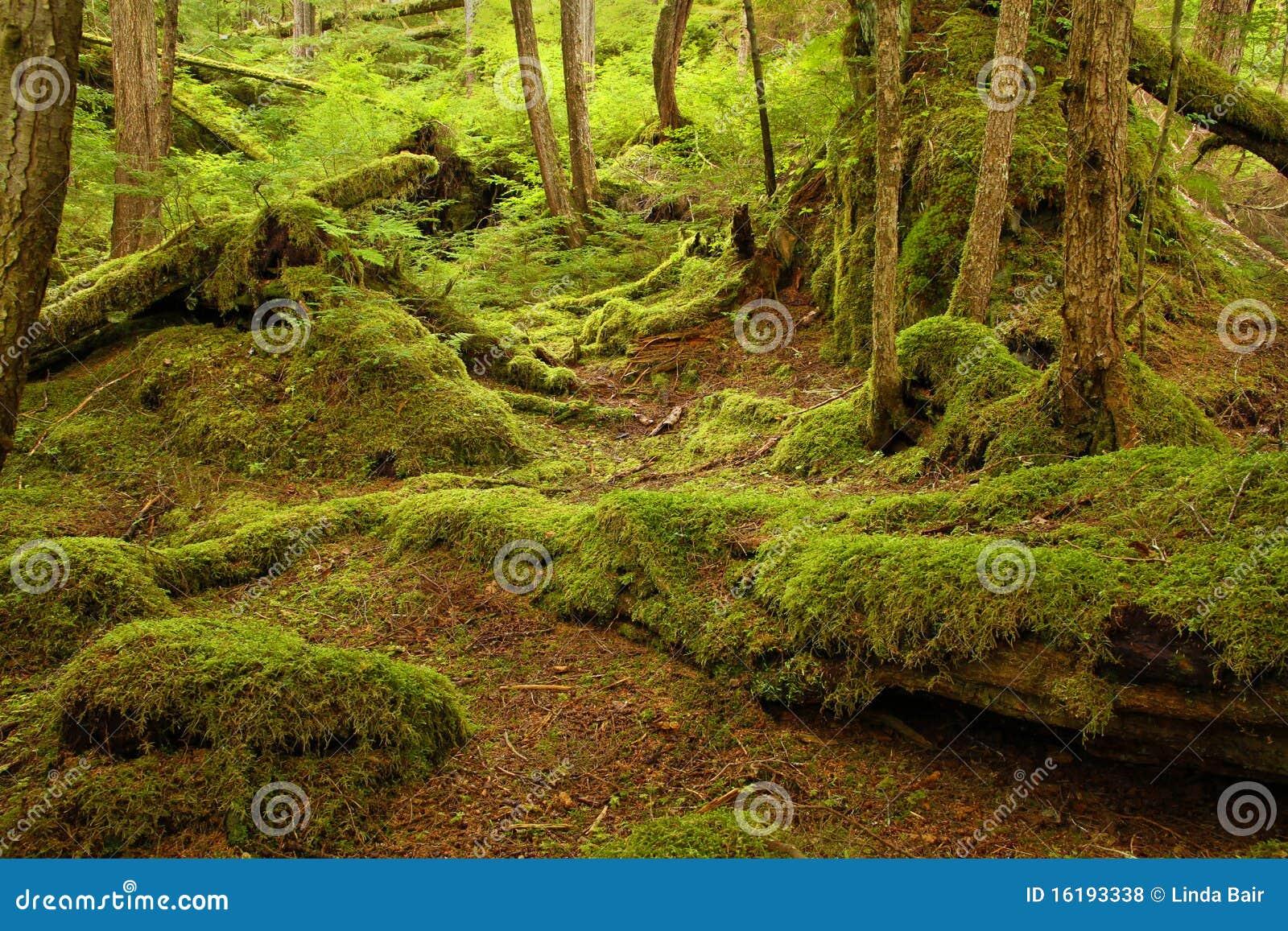 Mäßiger Regenwald