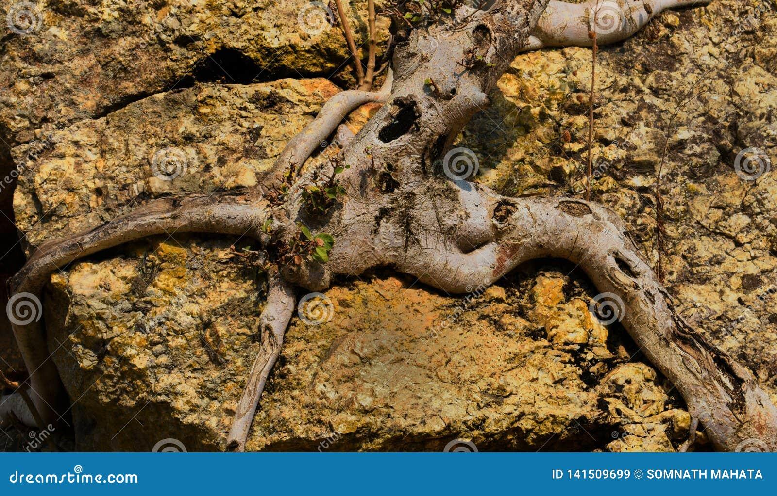 Mężczyzna jak struktury drzewo ściska skałę