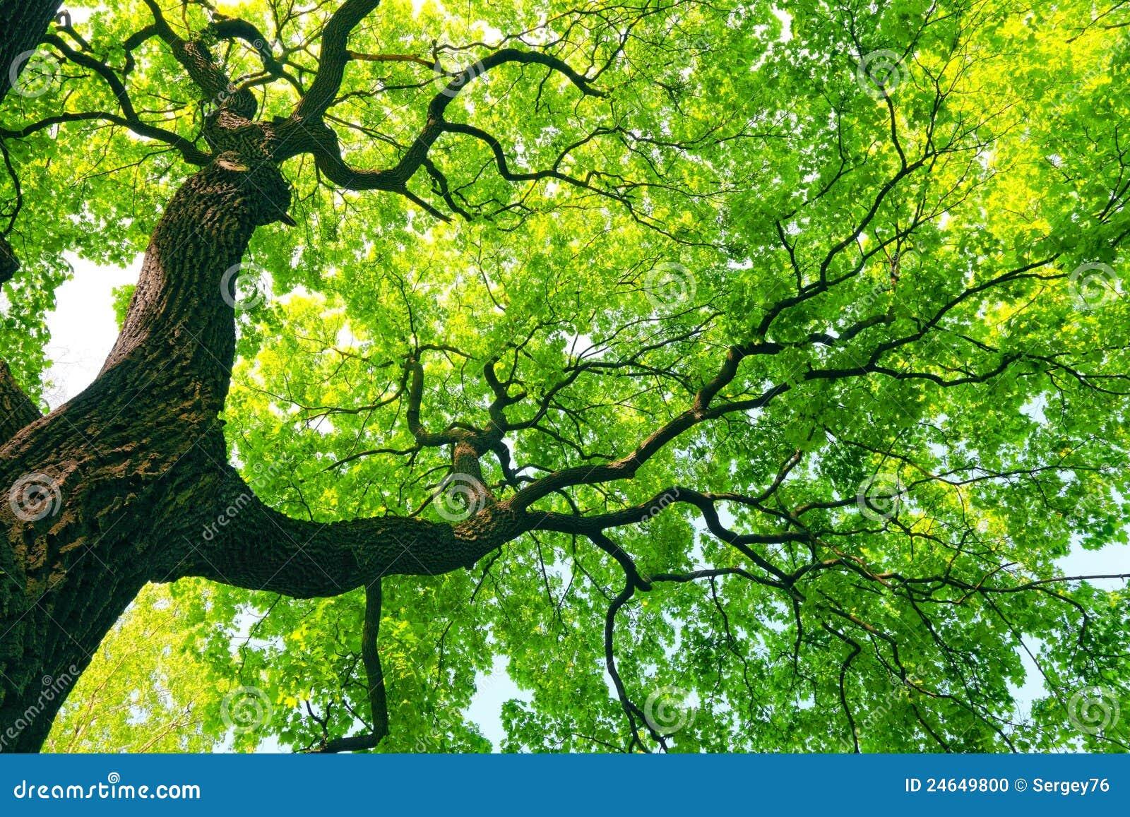Mächtiger Baum mit grünen Blättern