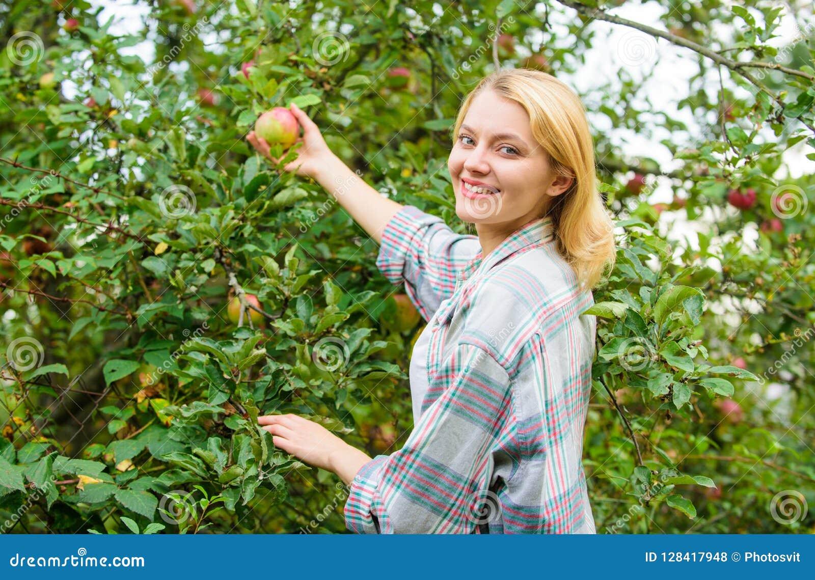 Mädchenversammlungsapfelerntegarten-Herbsttag Landwirtdame, die reife Frucht vom Baum auswählt Ernten des Konzeptes Frauengriff