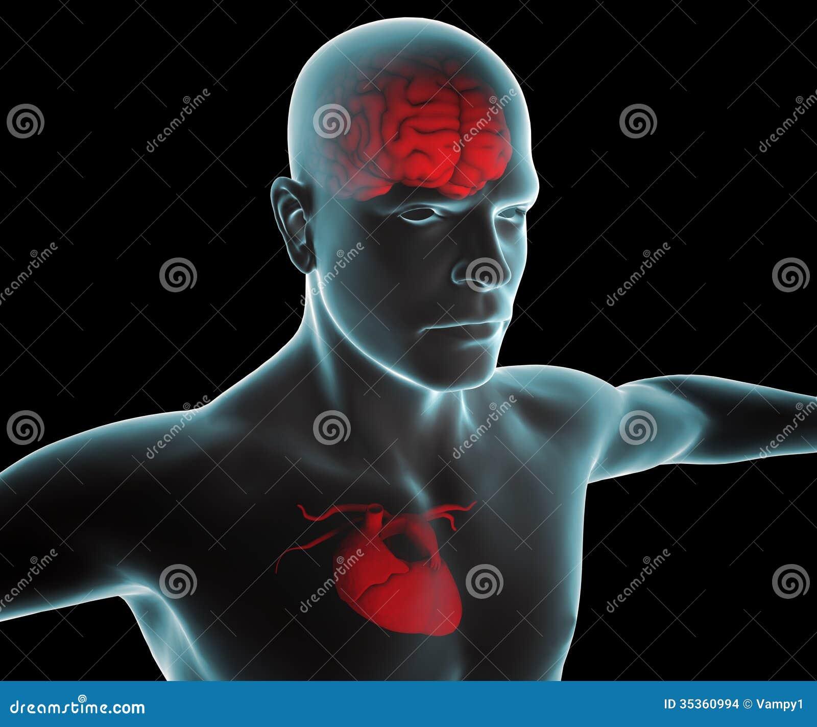 Människokropp med hjärta- och hjärnröntgenstrålen
