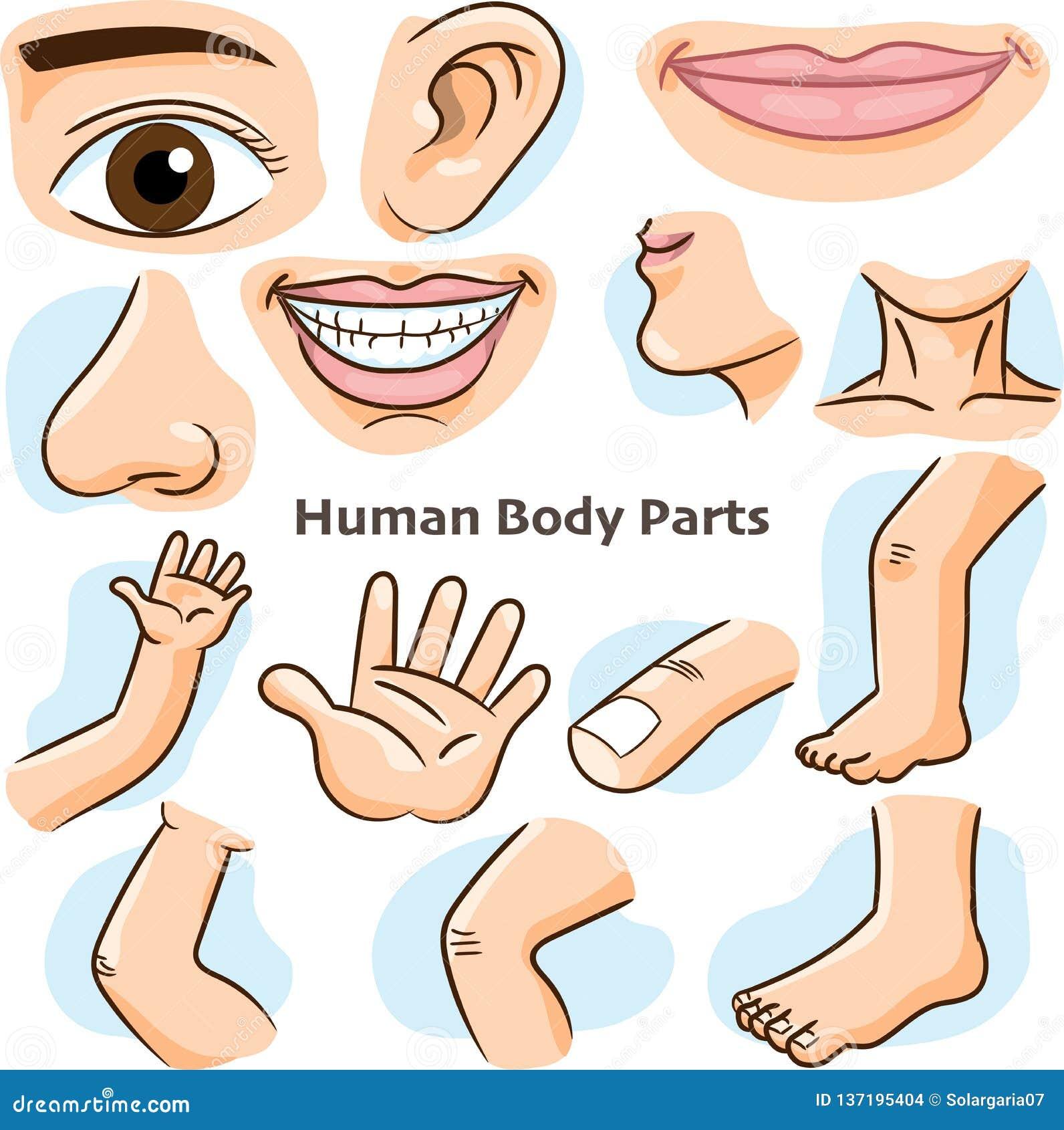 Människokroppdelar - vektorillustration