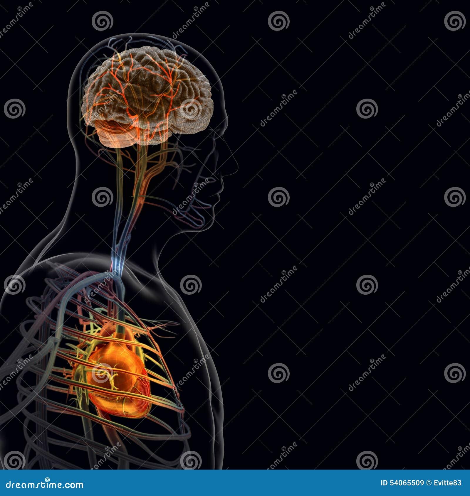 Människokroppen (organ) vid röntgenstrålar på svart bakgrund