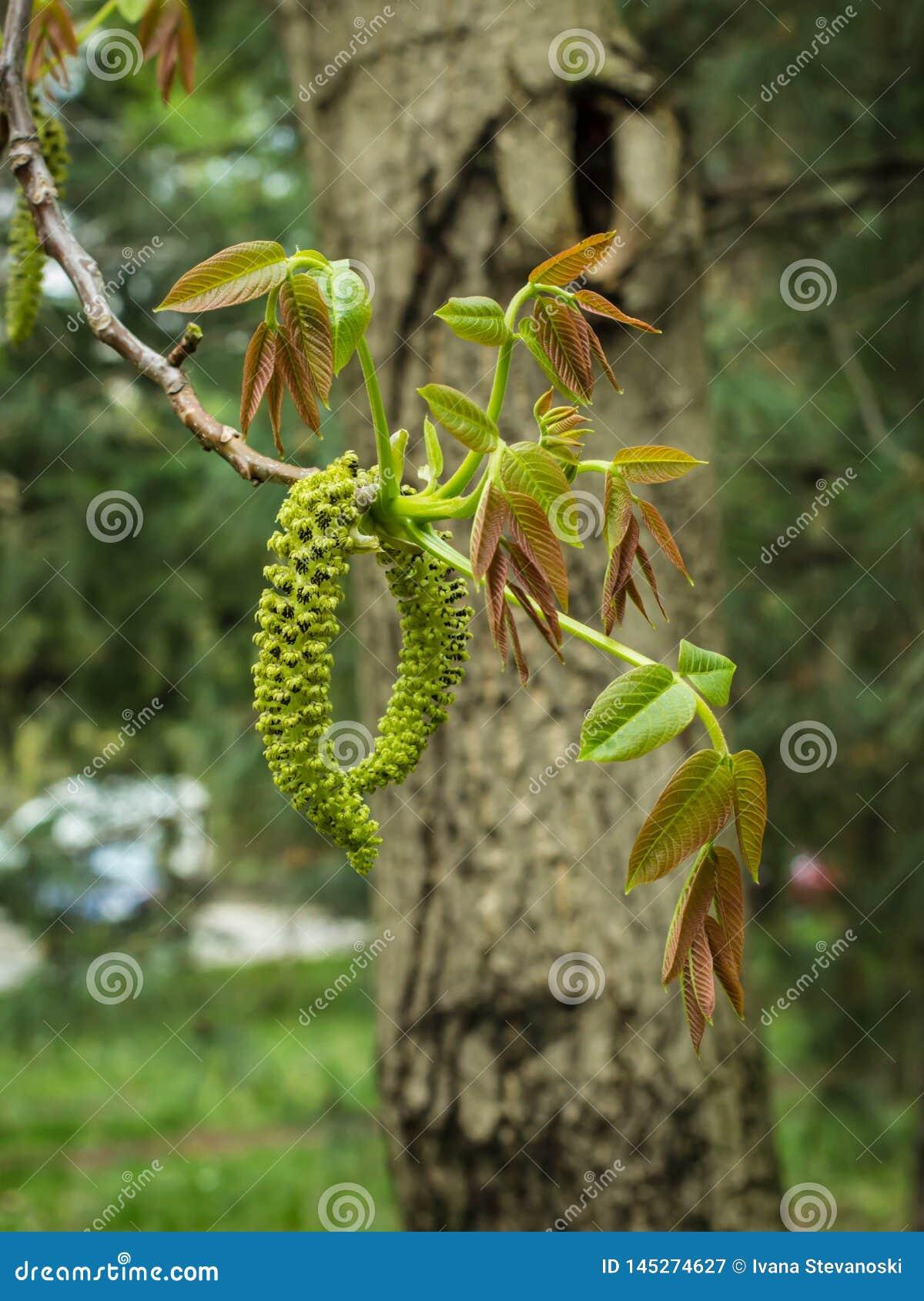 Männliche Blume der englischen Walnuss, lateinische Name Juglans Regia
