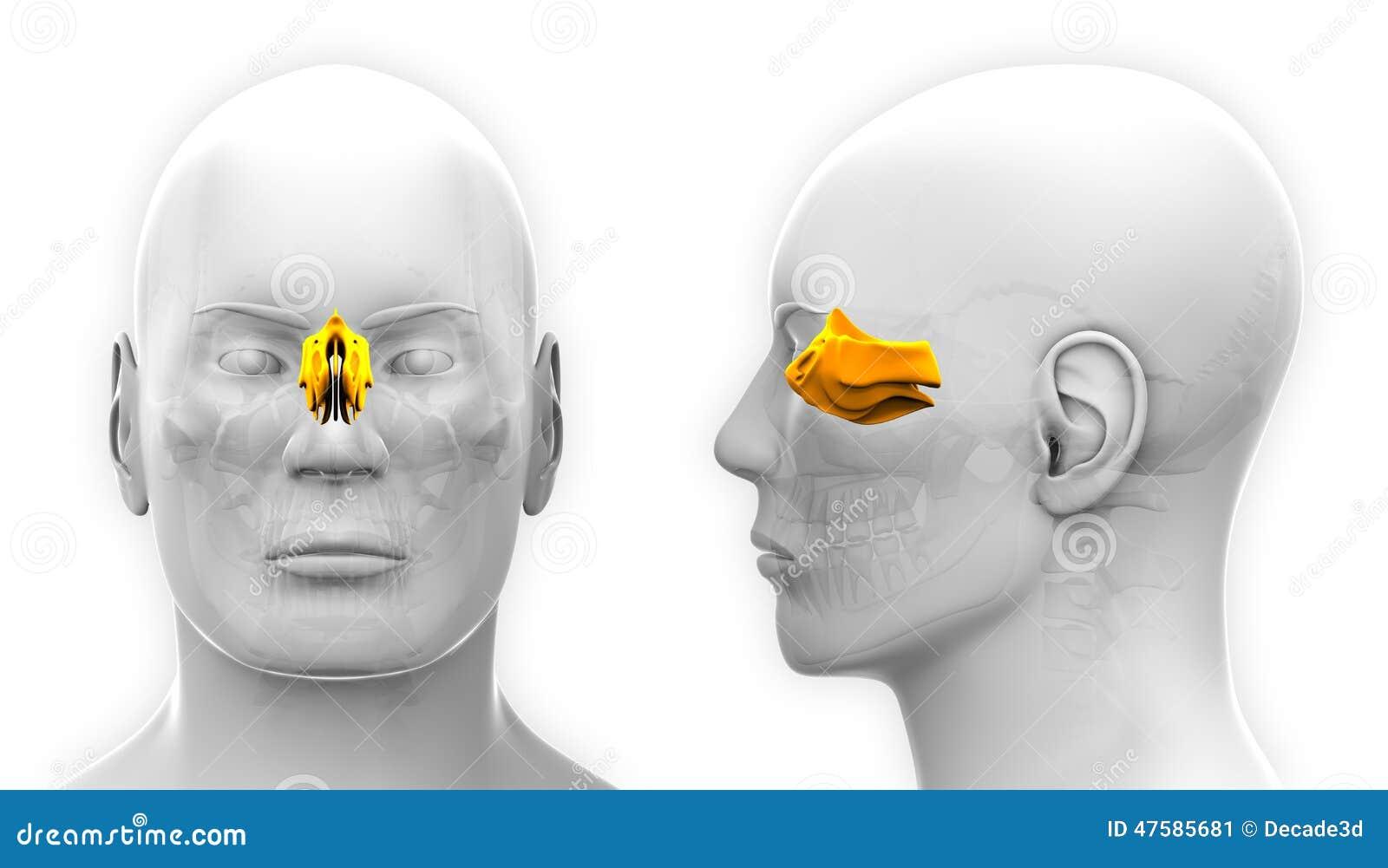 Männliche Nasenbein-Schädel-Anatomie - Lokalisiert Auf Weiß Stock ...