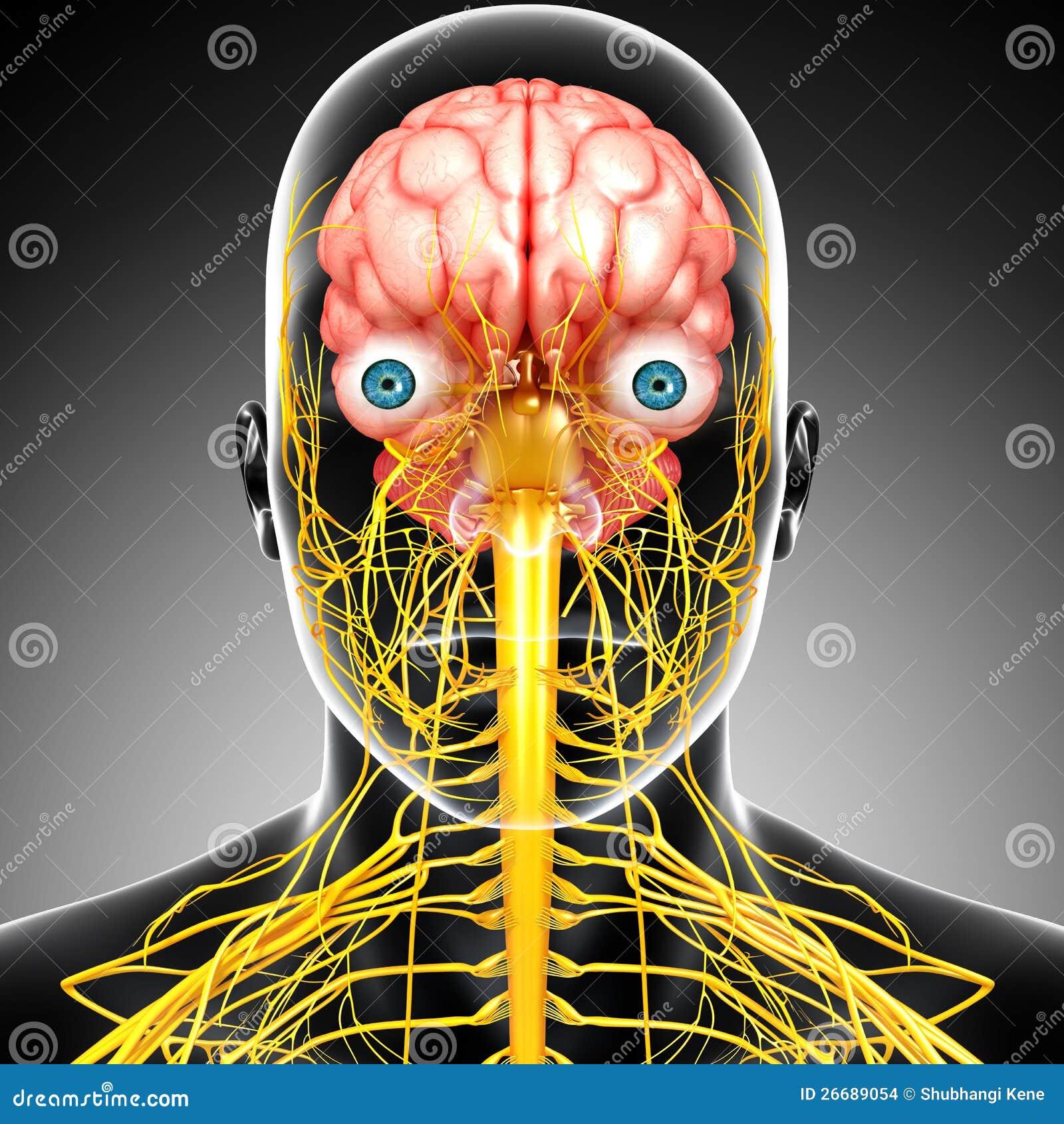 Männliche Gehirnanatomie Mit Nervensystem Stock Abbildung ...