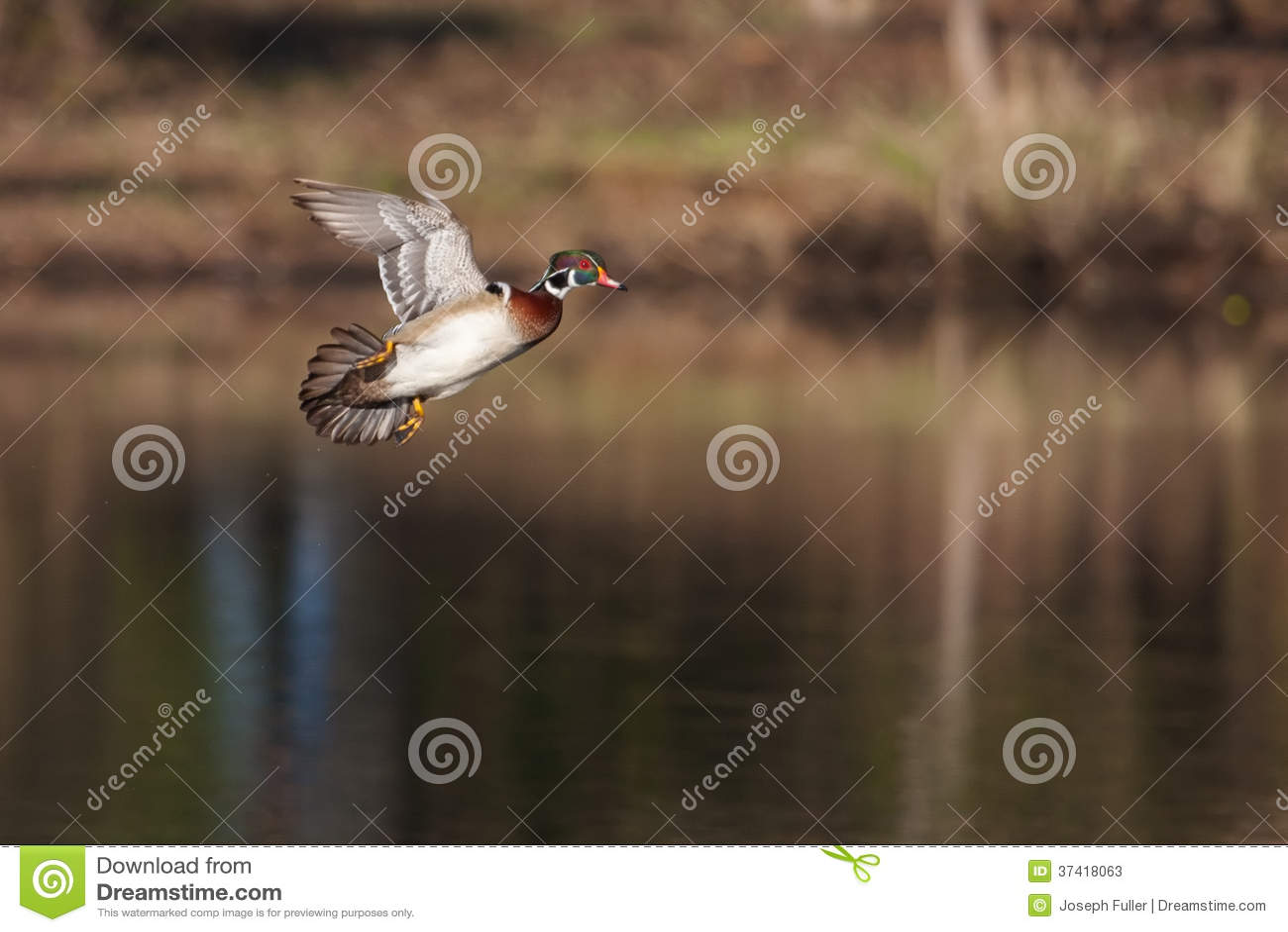 Männliche hölzerne Ente im Flug