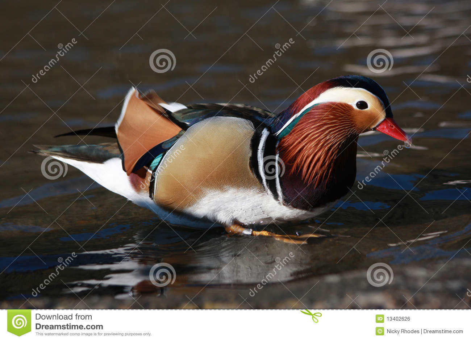 Männliche Mandarine-Ente