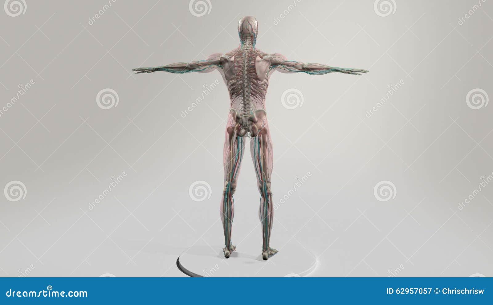 Berühmt Männliche Anatomie Videos Galerie - Anatomie Von ...