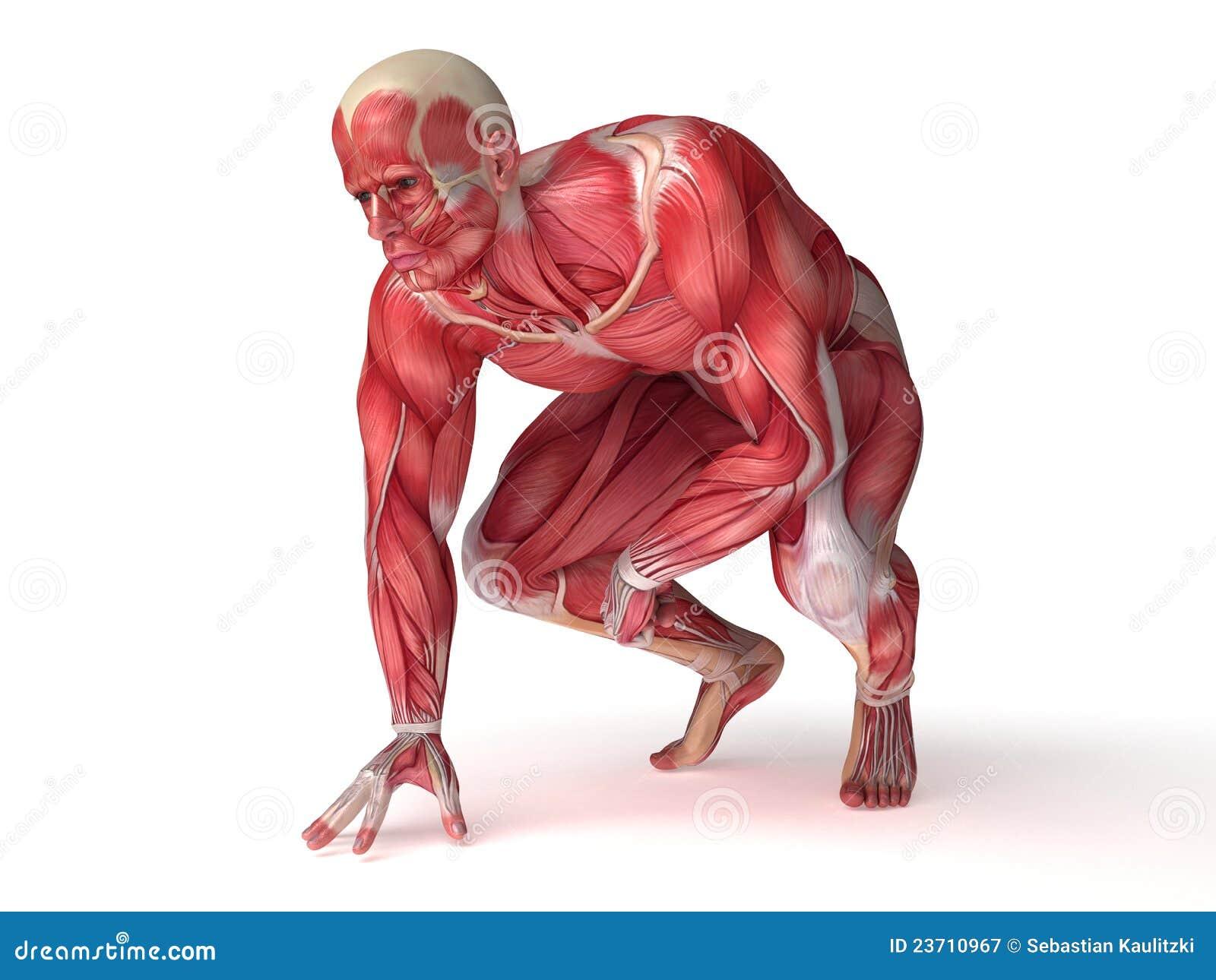 Männliche Muskelanatomie stock abbildung. Illustration von mann ...
