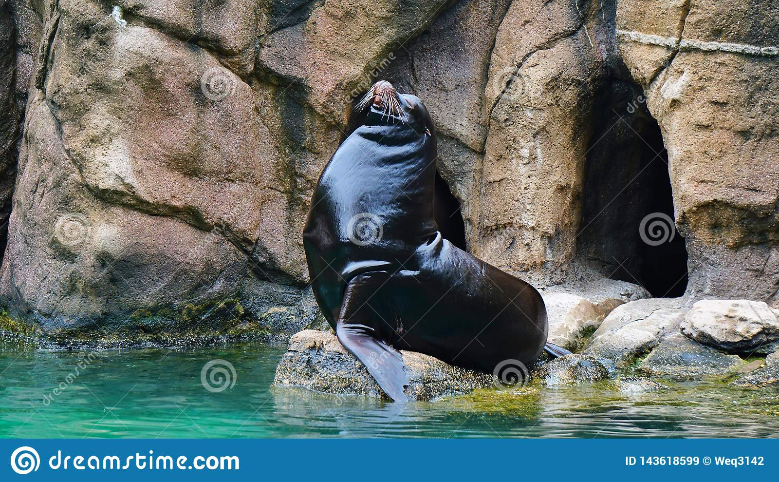 Männliche Robben Bronx-Zoos, welche die Sonne genießen