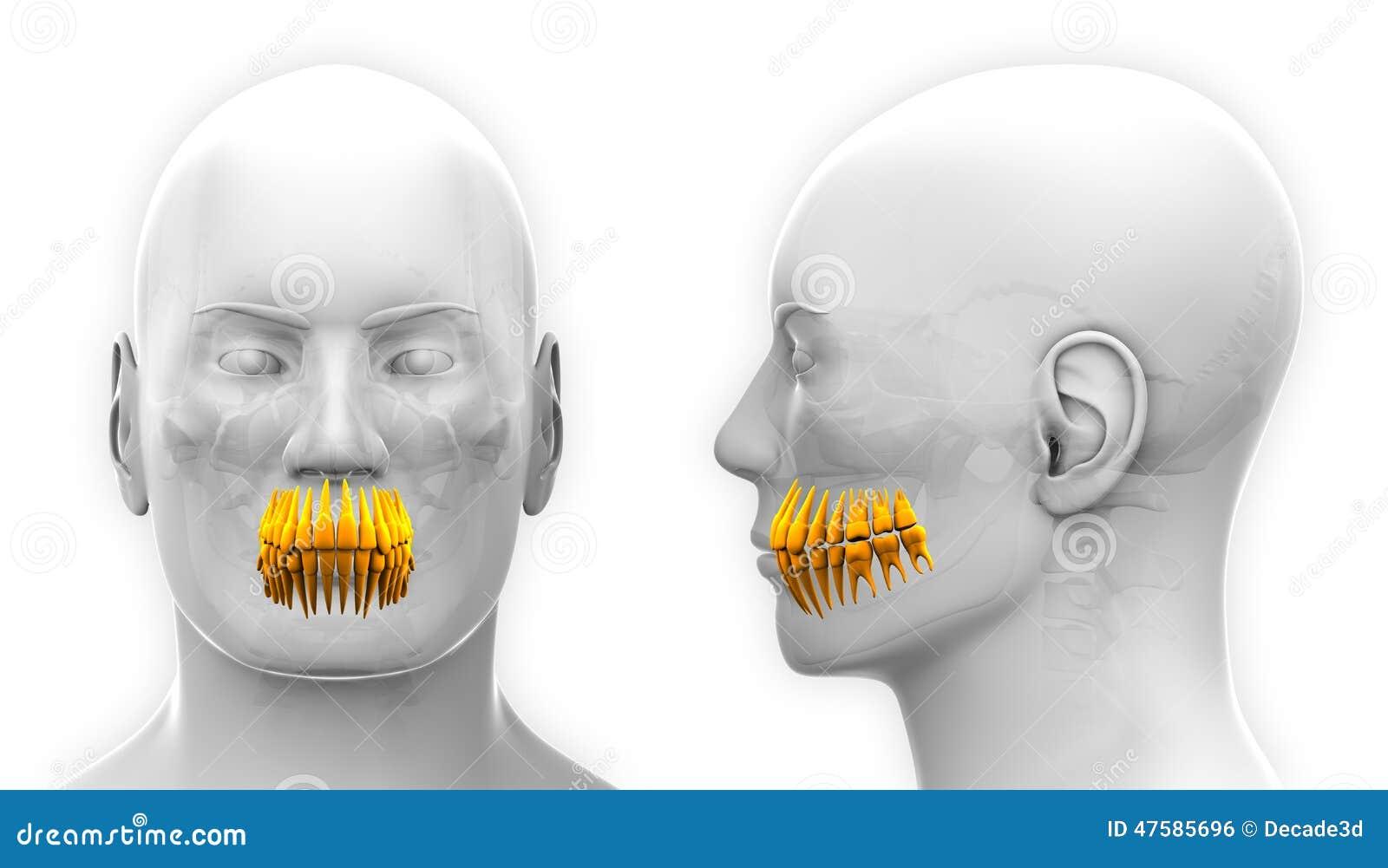 Männliche Zahn-zahnmedizinische Anatomie - Lokalisiert Auf Weiß ...
