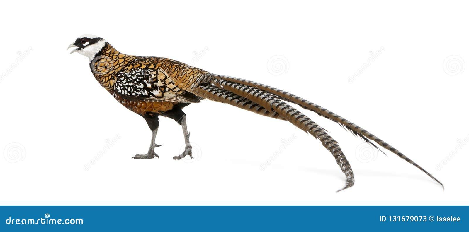 Männlichen Reeves Fasan, Syrmaticus-reevesii, kann bis 210 cm lang wachsen