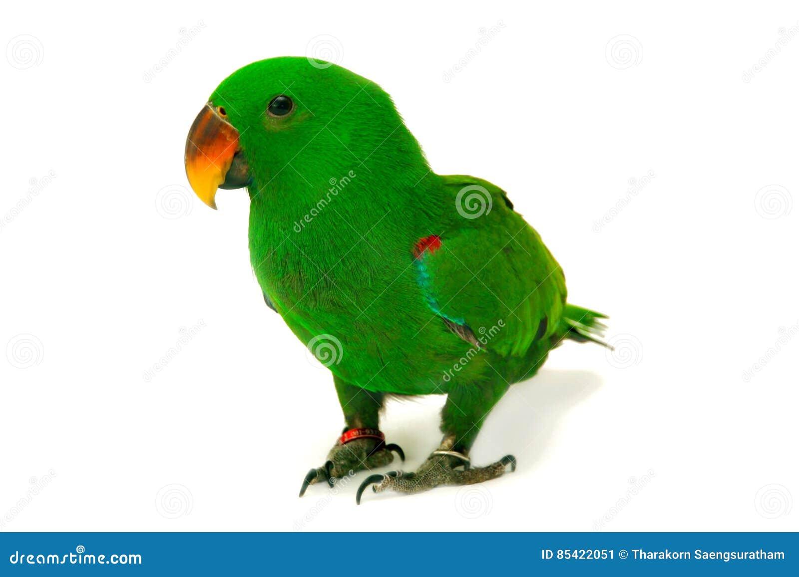 Männlicher Eclectus-Papagei, altern fünf Monate