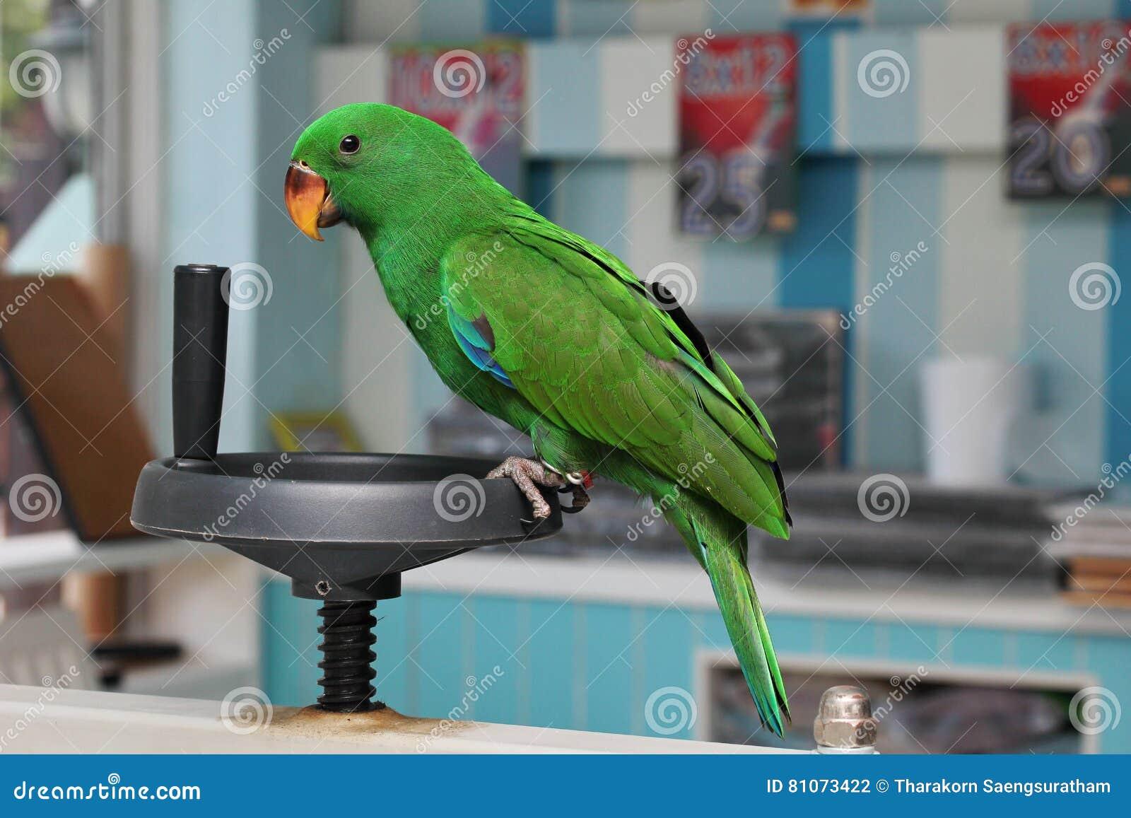 Männlicher Eclectus-Papagei, altern zwei Monate