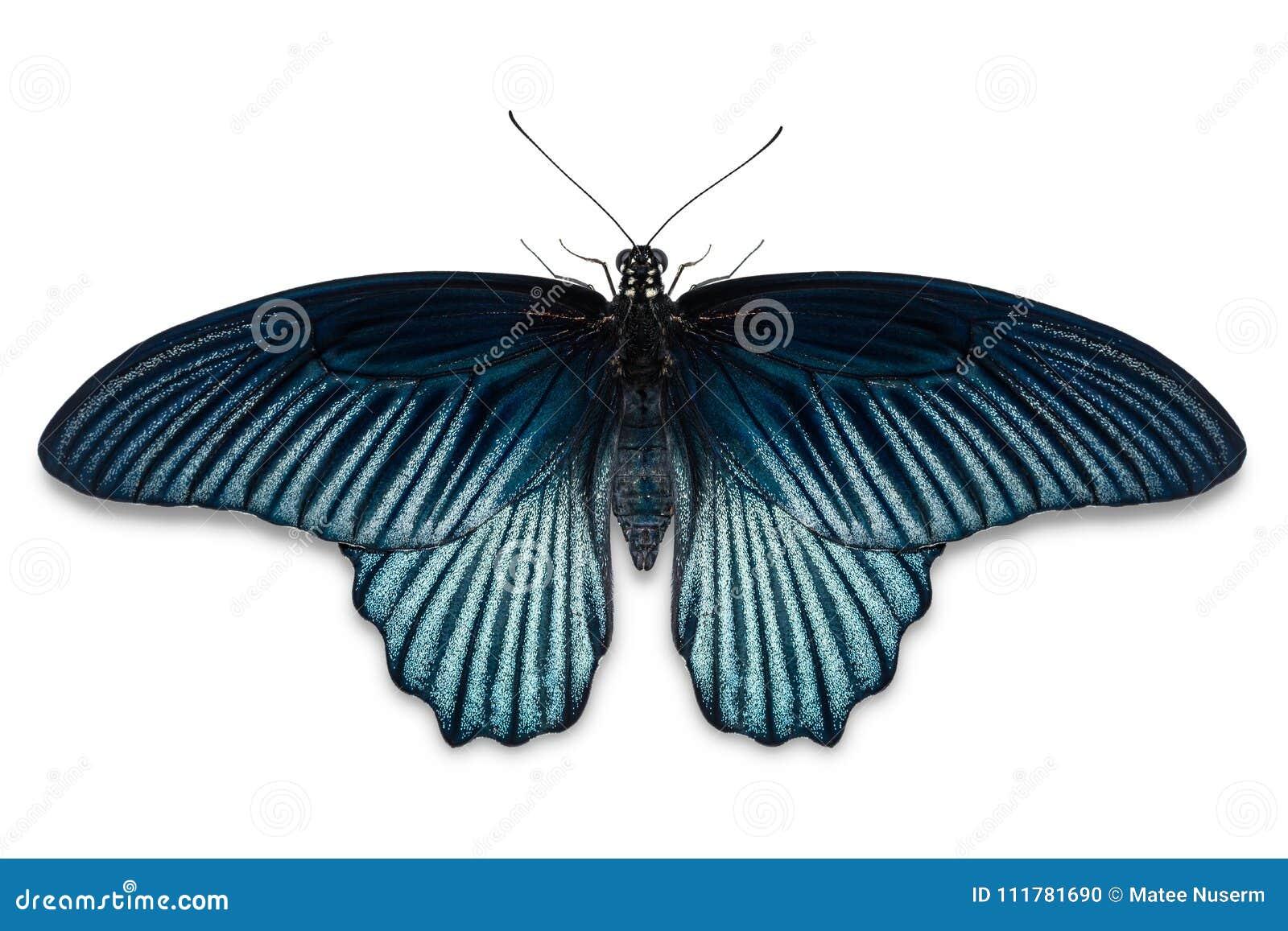 Männlicher großer Mormone Papilio-memnon Schmetterling