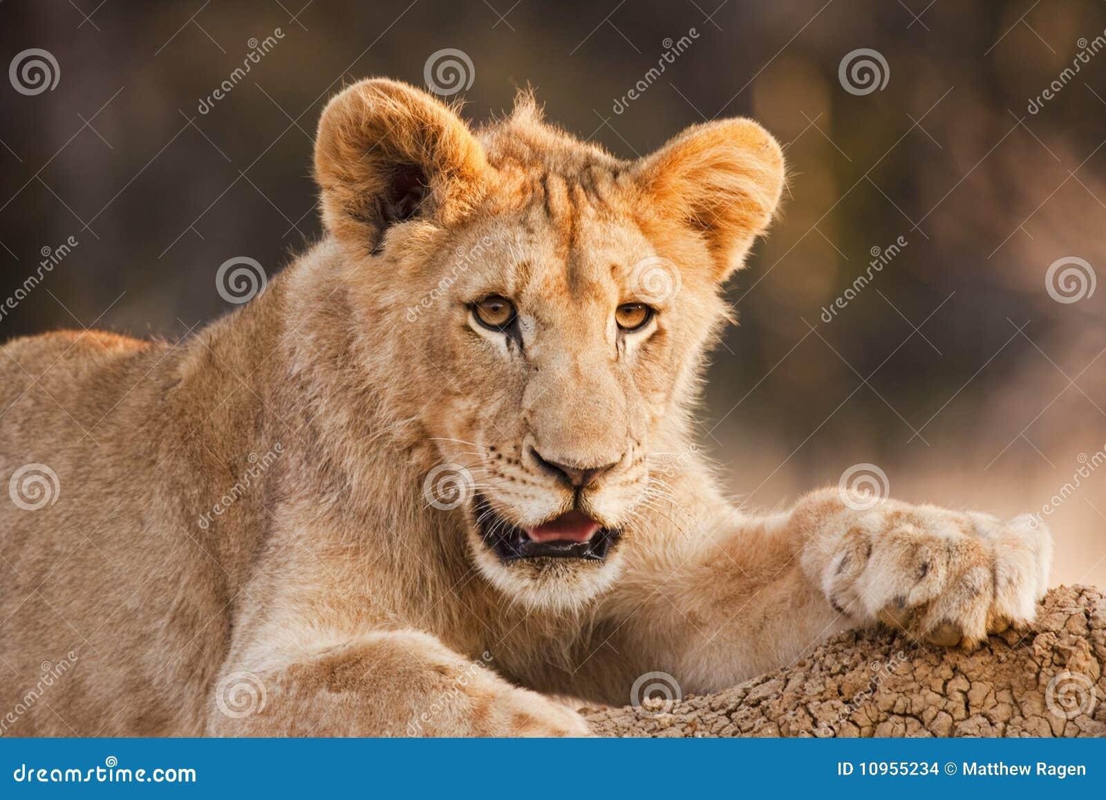 Männlicher Löwe Cub im Ruhezustand