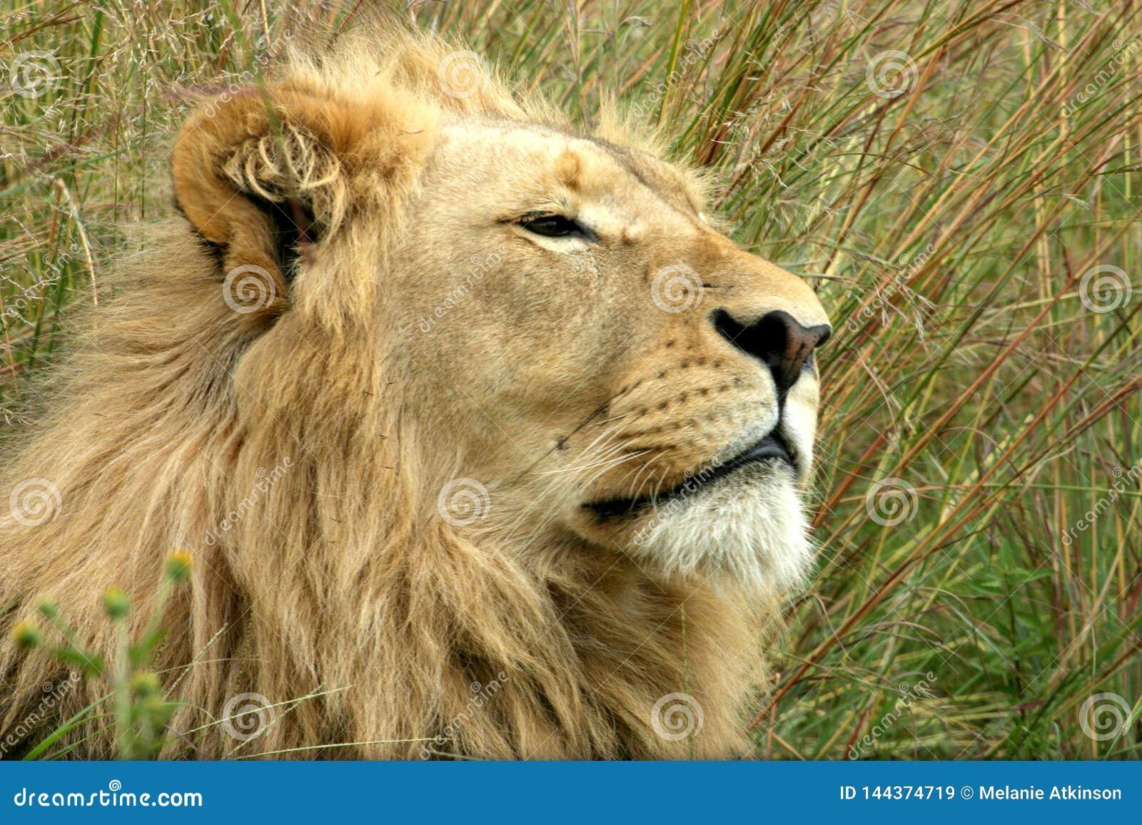 Männlicher Löwe, der im langen Gras sich entspannt