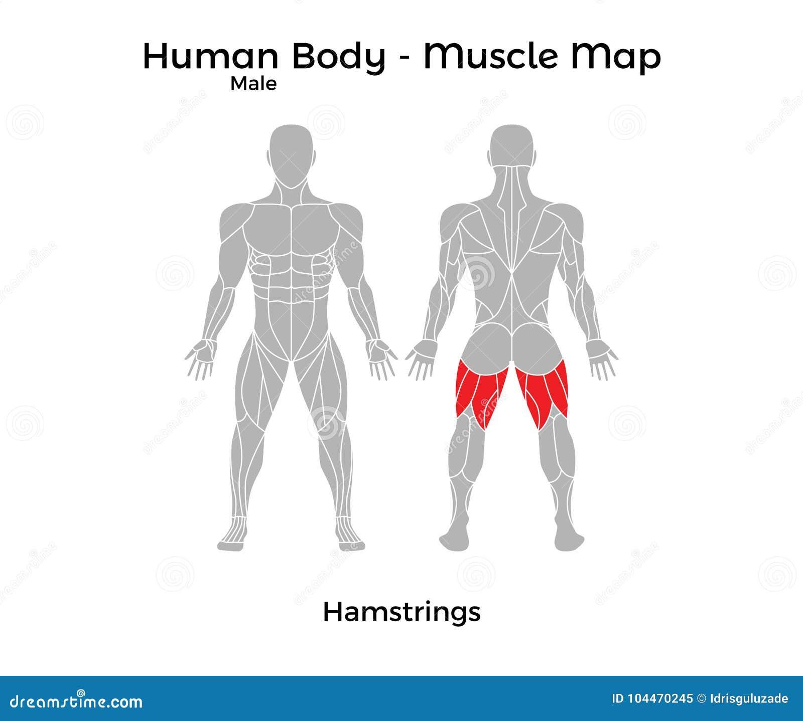 Männlicher Menschlicher Körper - Mischen Sie Karte, Kniesehnen Mit ...