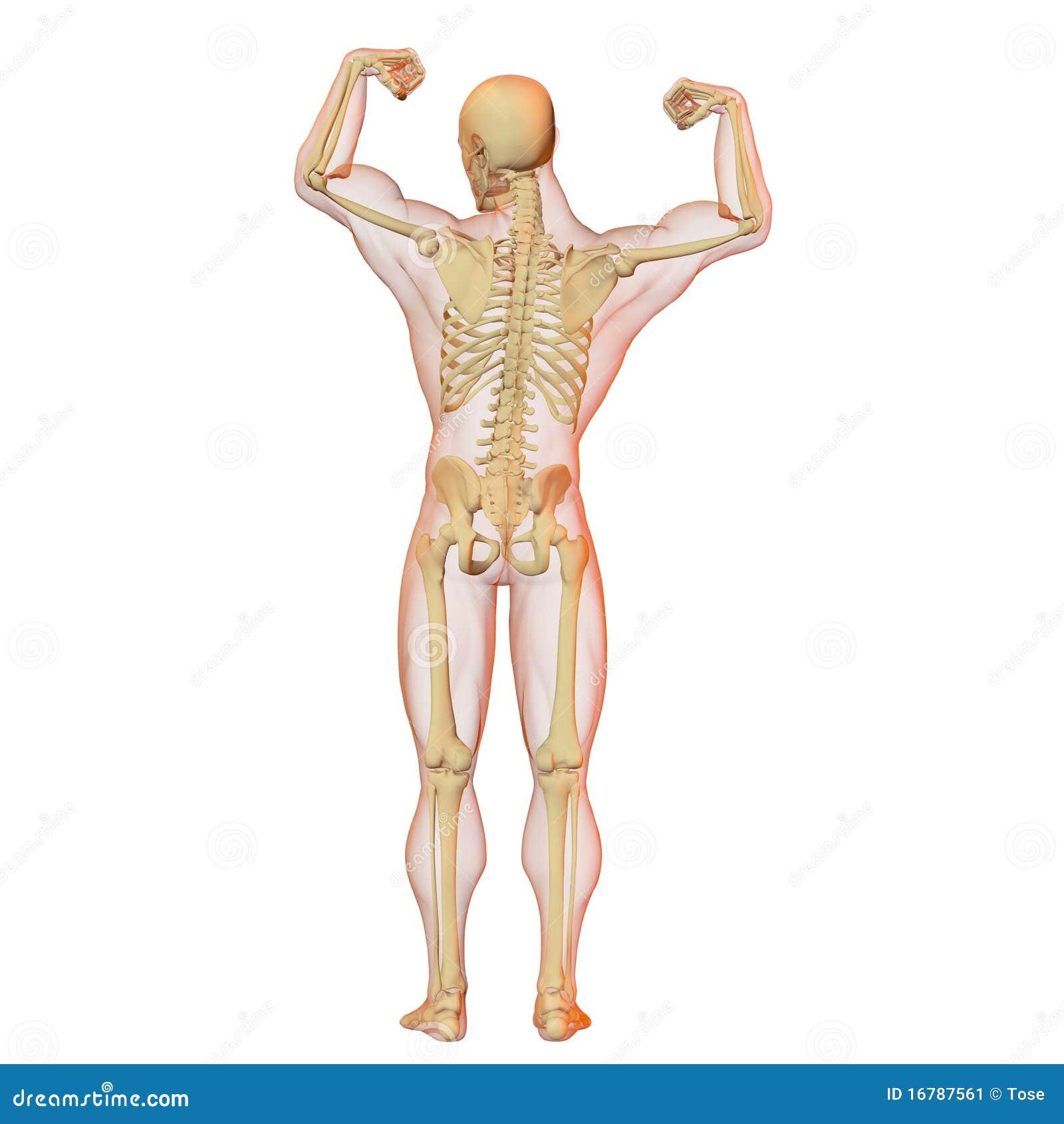 Berühmt Körper Skelett Organe Galerie - Menschliche Anatomie Bilder ...
