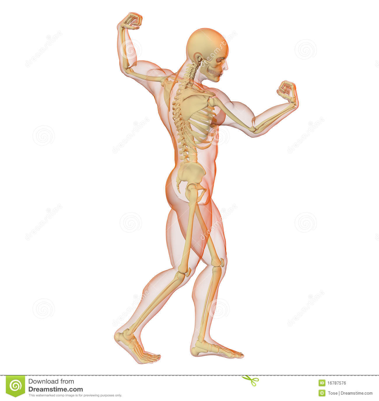 Männlicher Menschlicher Körper Und Skelett. Stock Abbildung ...
