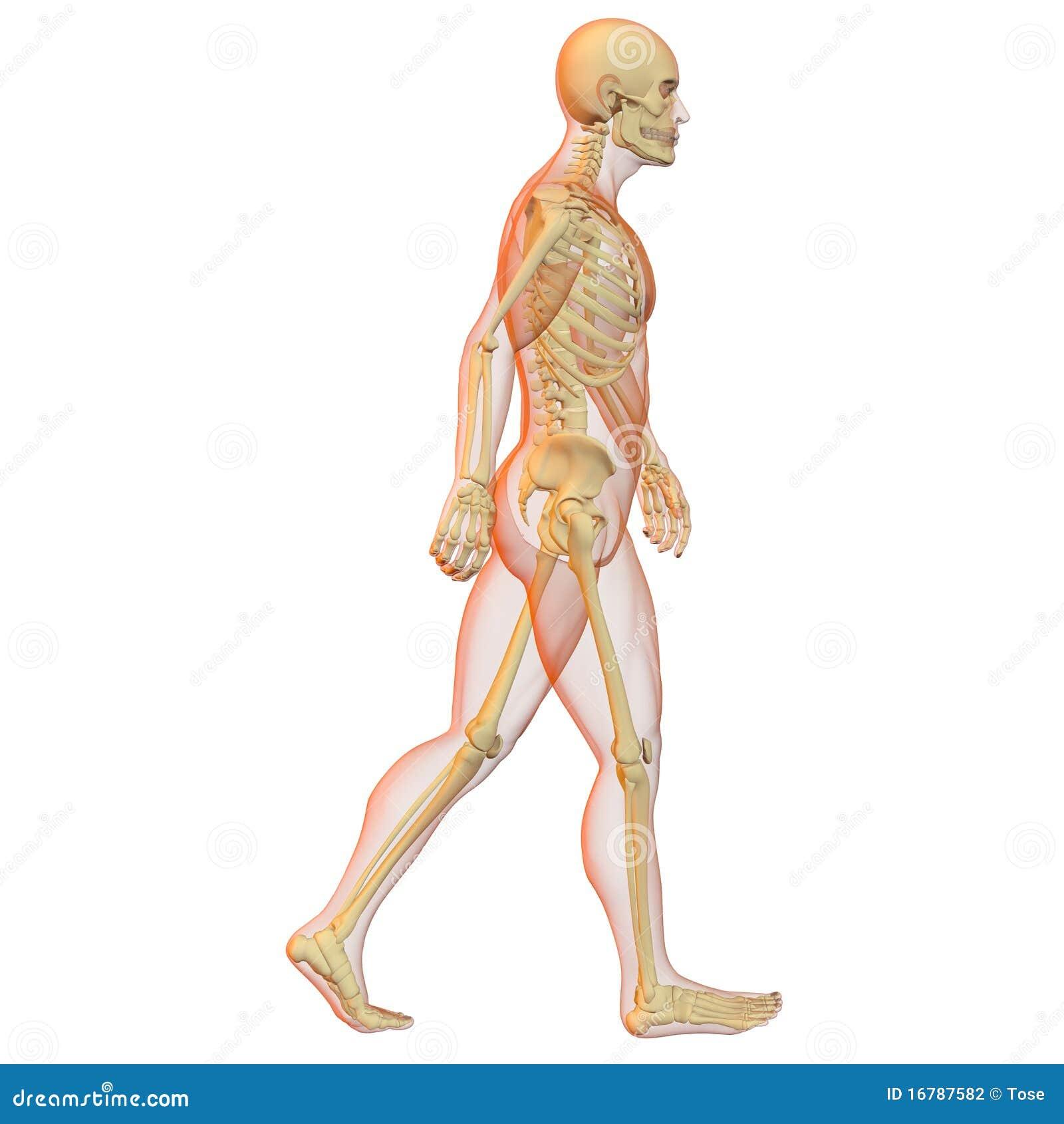Atemberaubend Menschlichen Körper Skelett Bilder - Menschliche ...