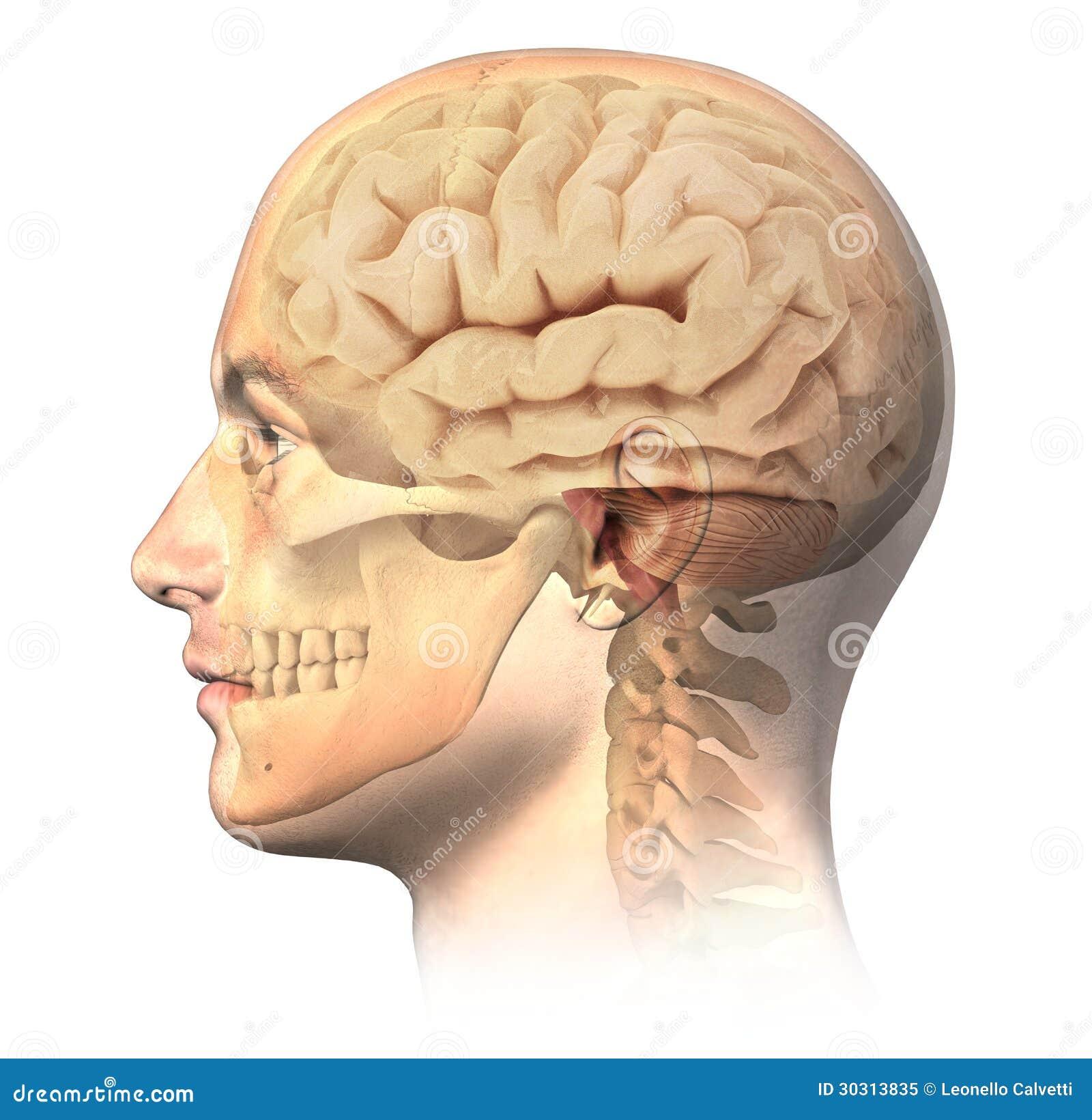 Männlicher Menschlicher Kopf Mit Dem Schädel Und Gehirn Im ...