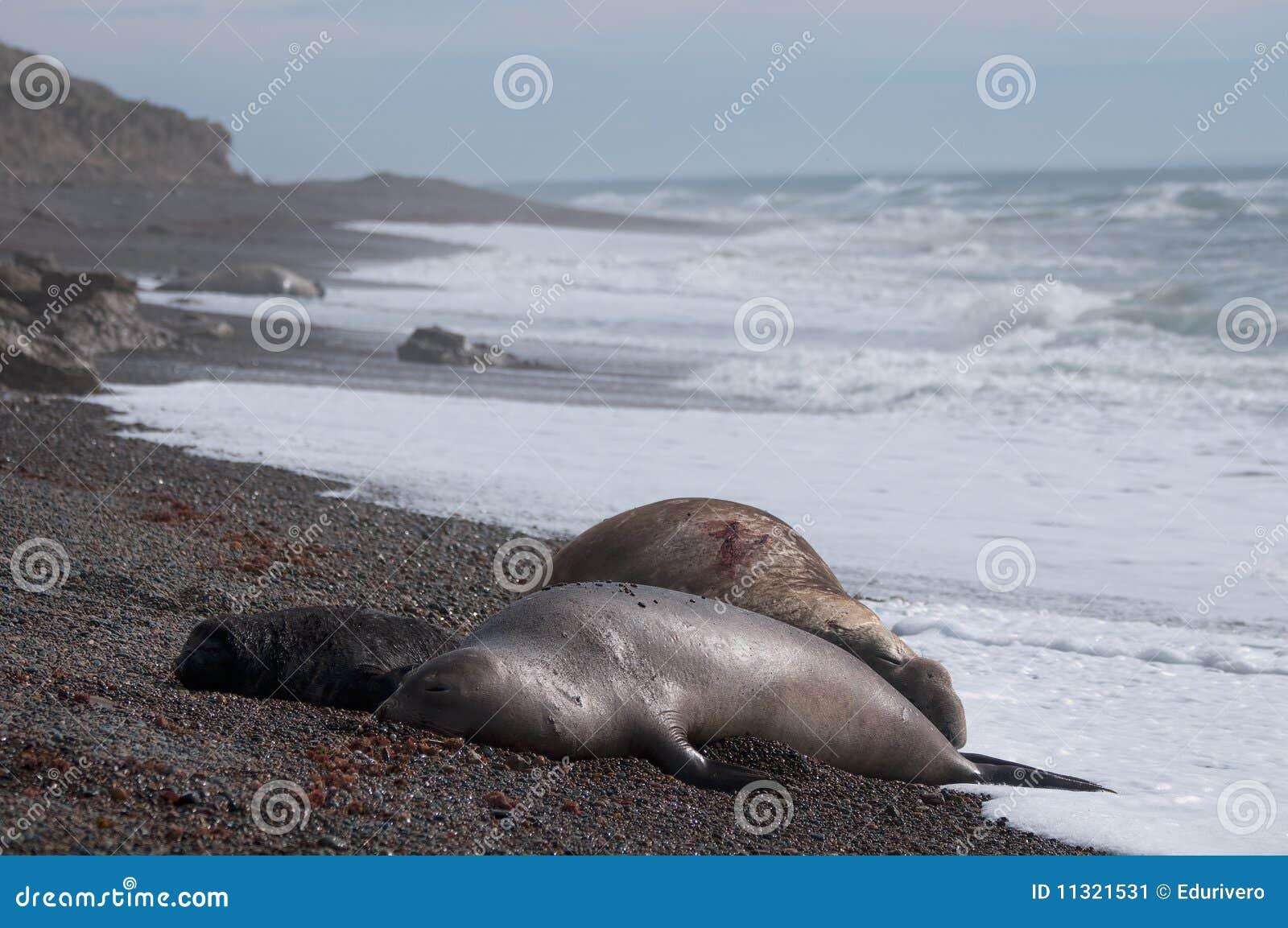 Männlicher Seeelefant