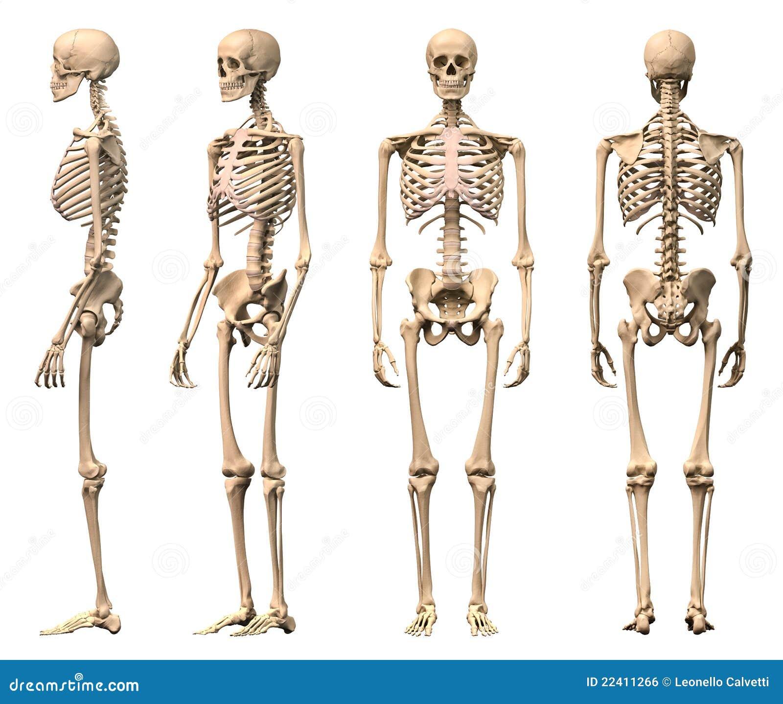 Männliches menschliches Skelett, vier Ansichten.