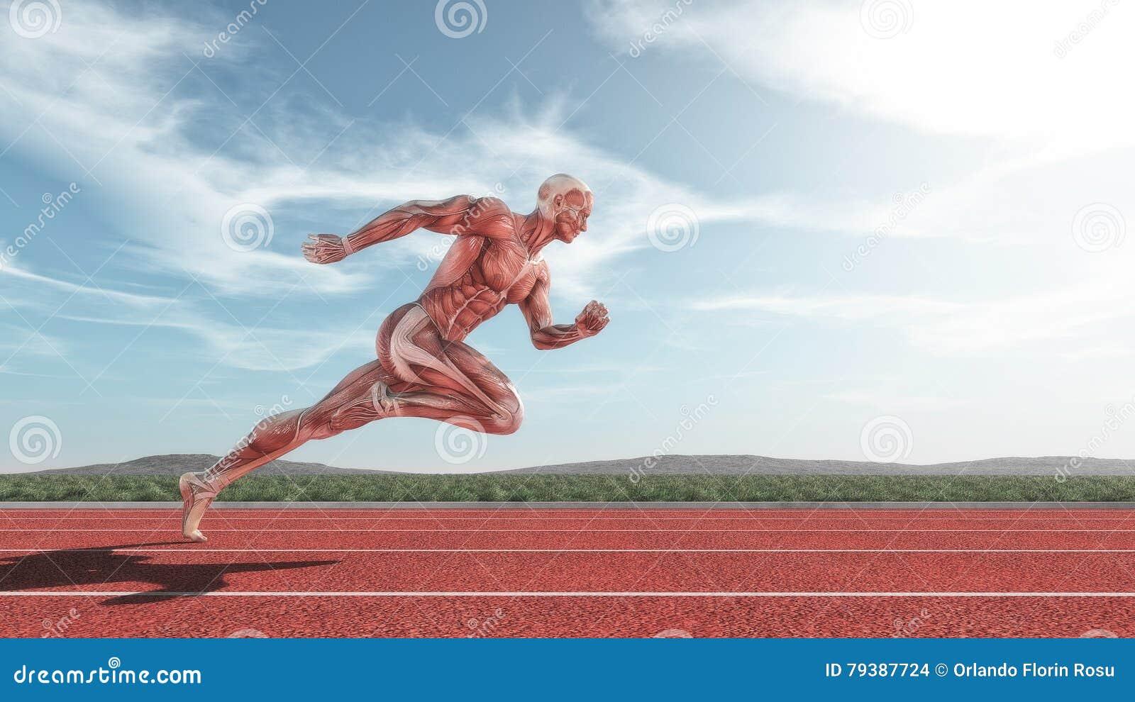 Männliches muskulöses System
