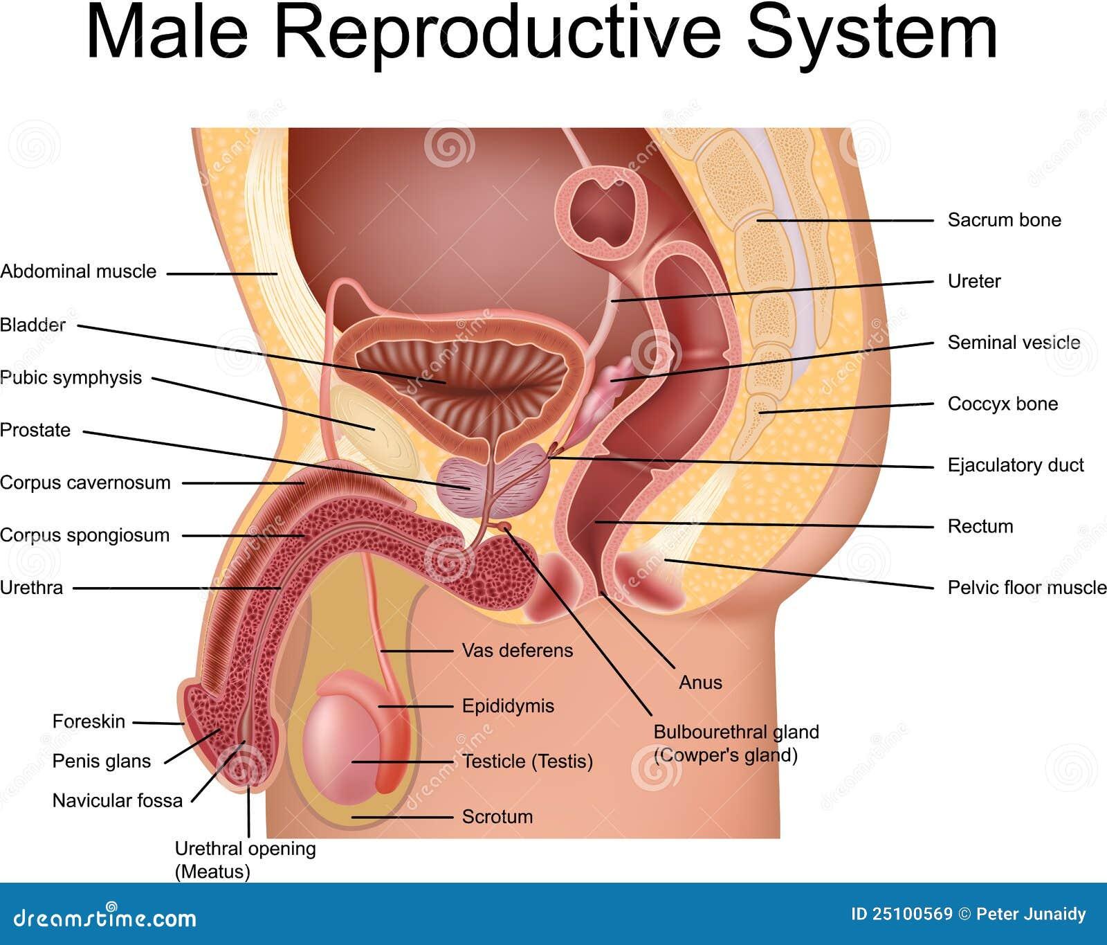 Männliches Reproduktionssystem Vektor Abbildung - Illustration von ...