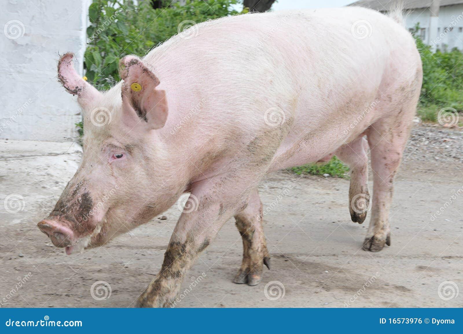 junges männliches schwein