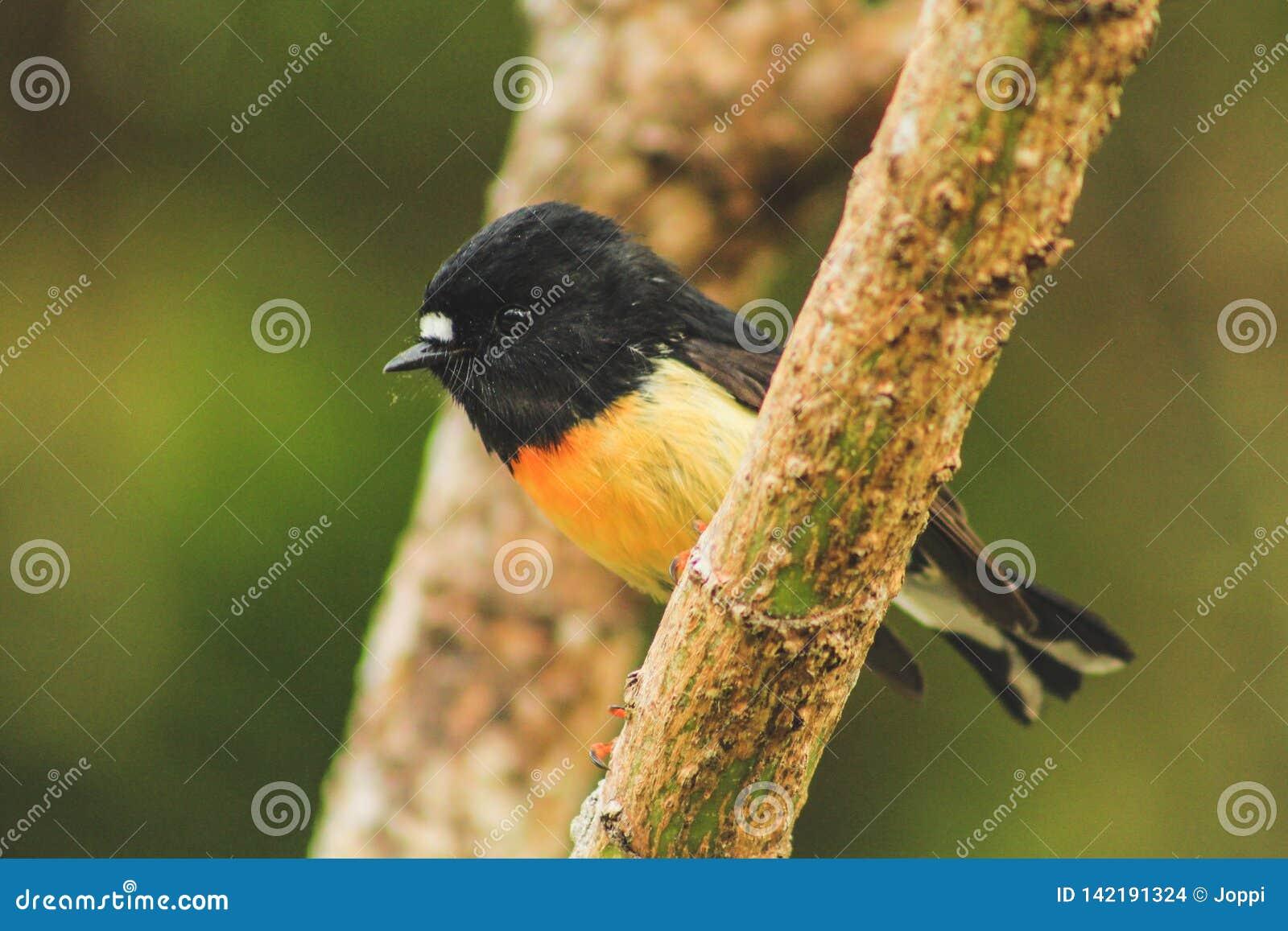 Männliches tomtit, Südinselunterart, gebürtiger Neuseeland-Vogel, der im Baum auf Täuschungs-Hügel sitzt