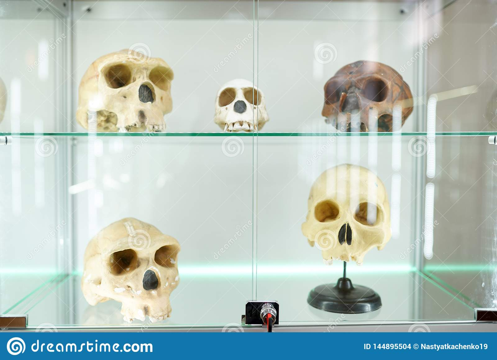 Mänsklig anatomi för skallar del av människokroppen på ljus bakgrund museum för medicinsk vetenskap
