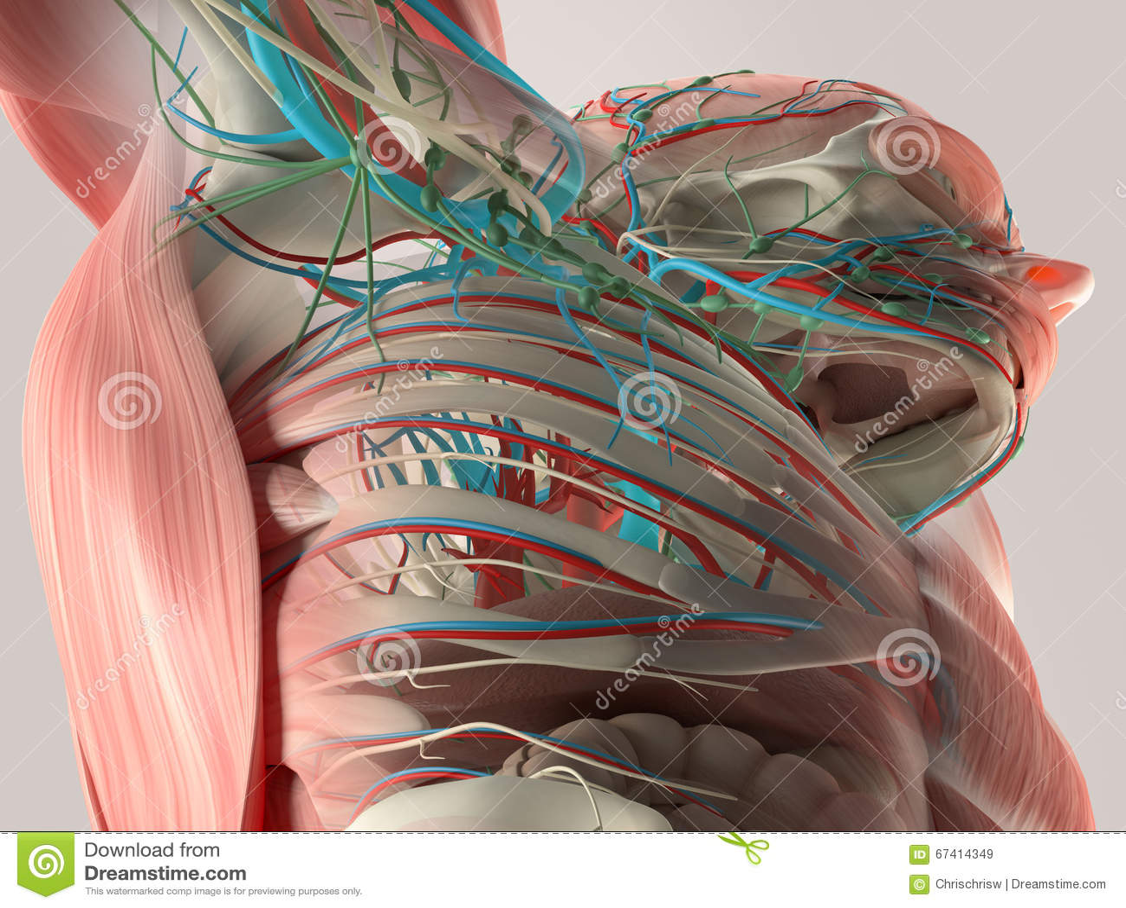 muskler i bröstkorgen