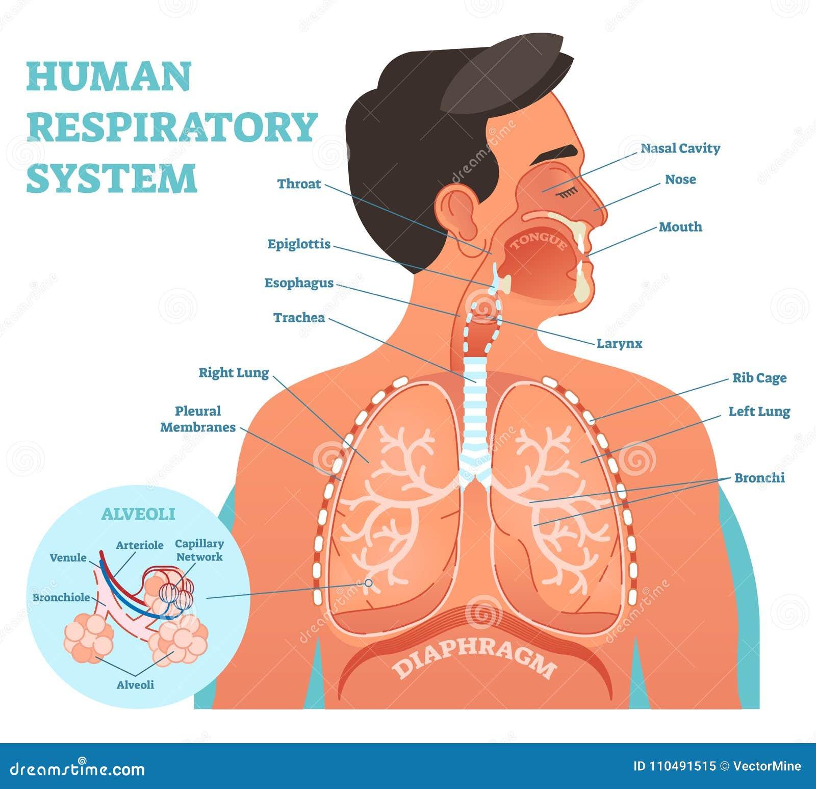 Mänsklig anatomisk vektorillustration för respiratoriskt system, medicinskt utbildningstvärsnittdiagram med lungor och alveoler