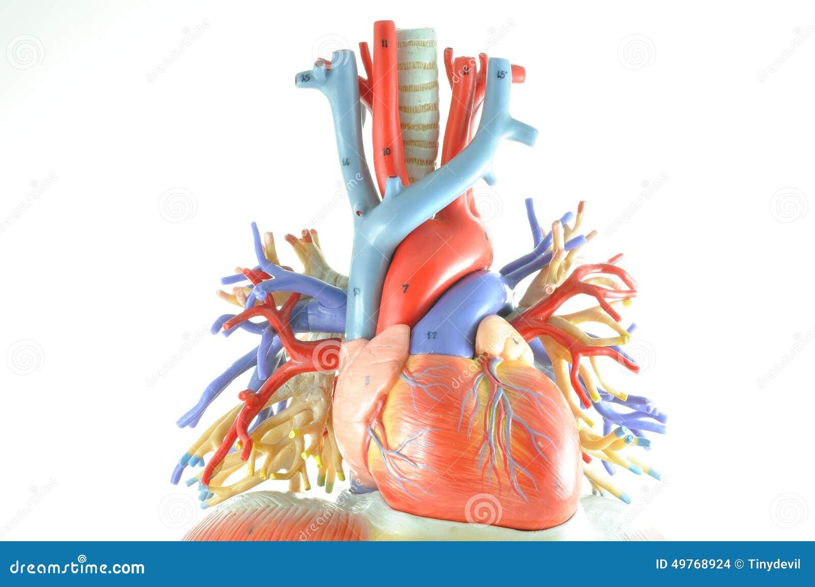 Mänsklig hjärtamodell