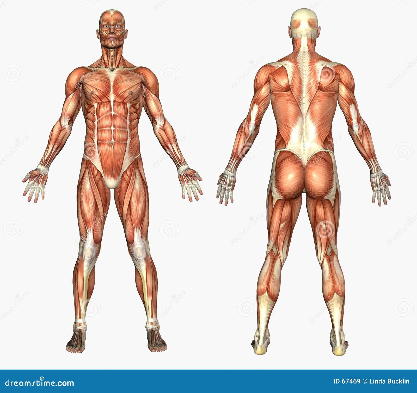 Mänskliga male muskler för anatomi