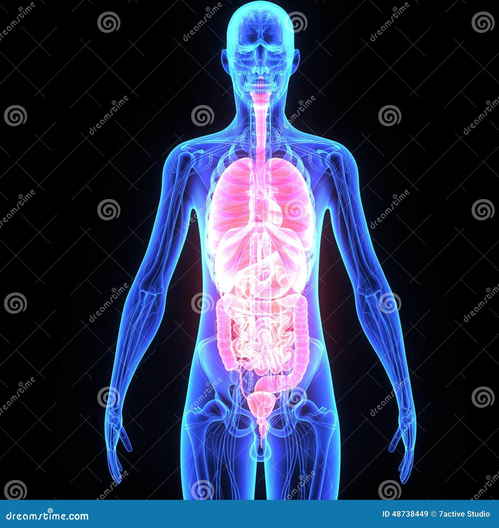 Mänskliga organ
