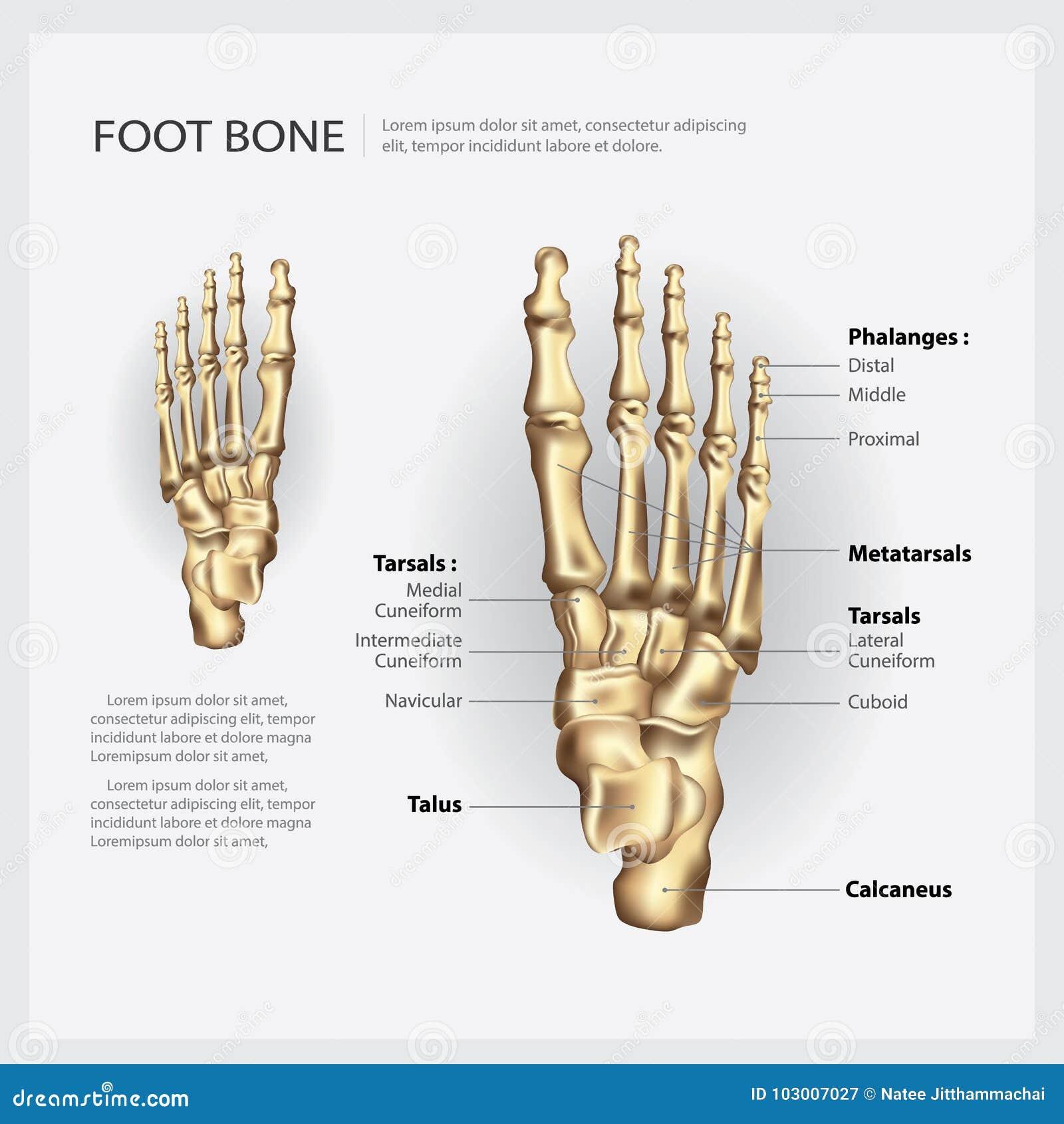 Mänskligt anatomifotben