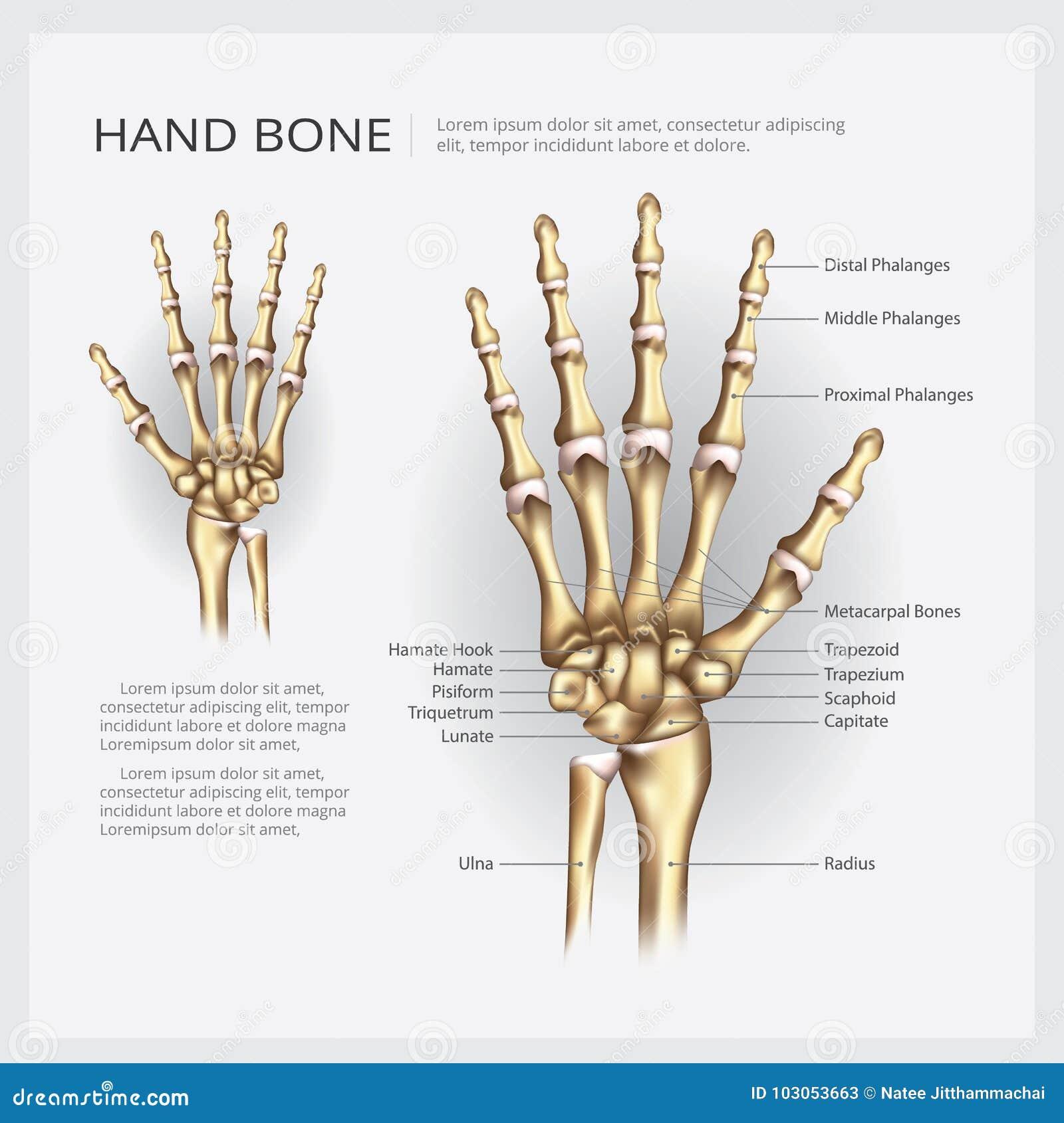Mänskligt anatomihandben