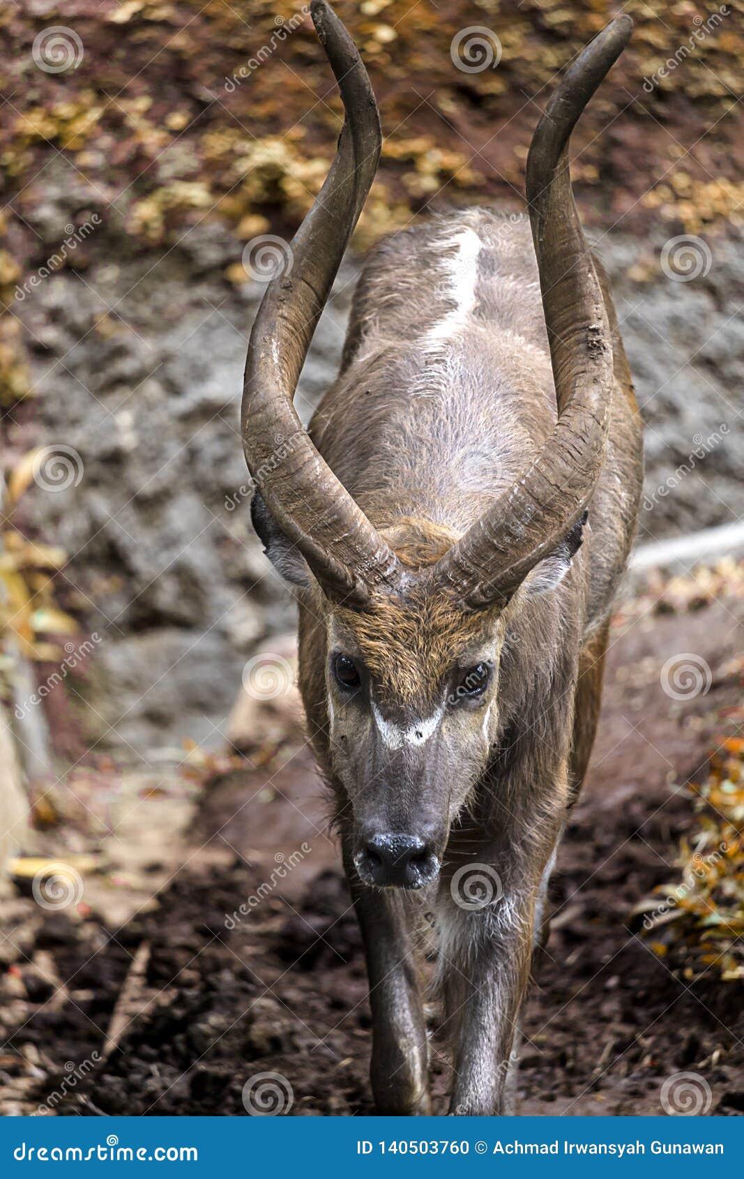 Młoda kudu samiec wędruje fechtującego się teren dla kudu